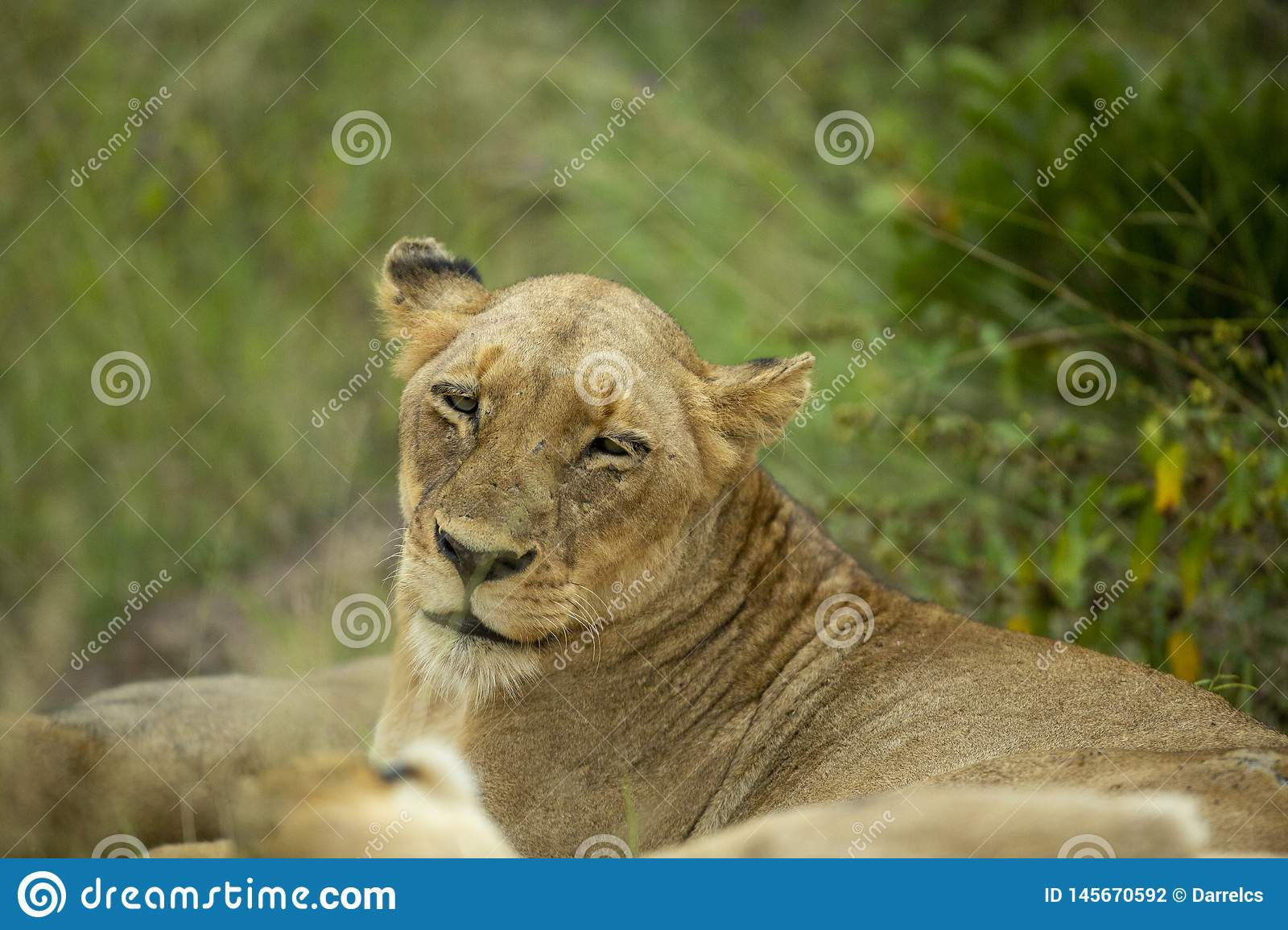 The lioness just awaking after a good nap/
