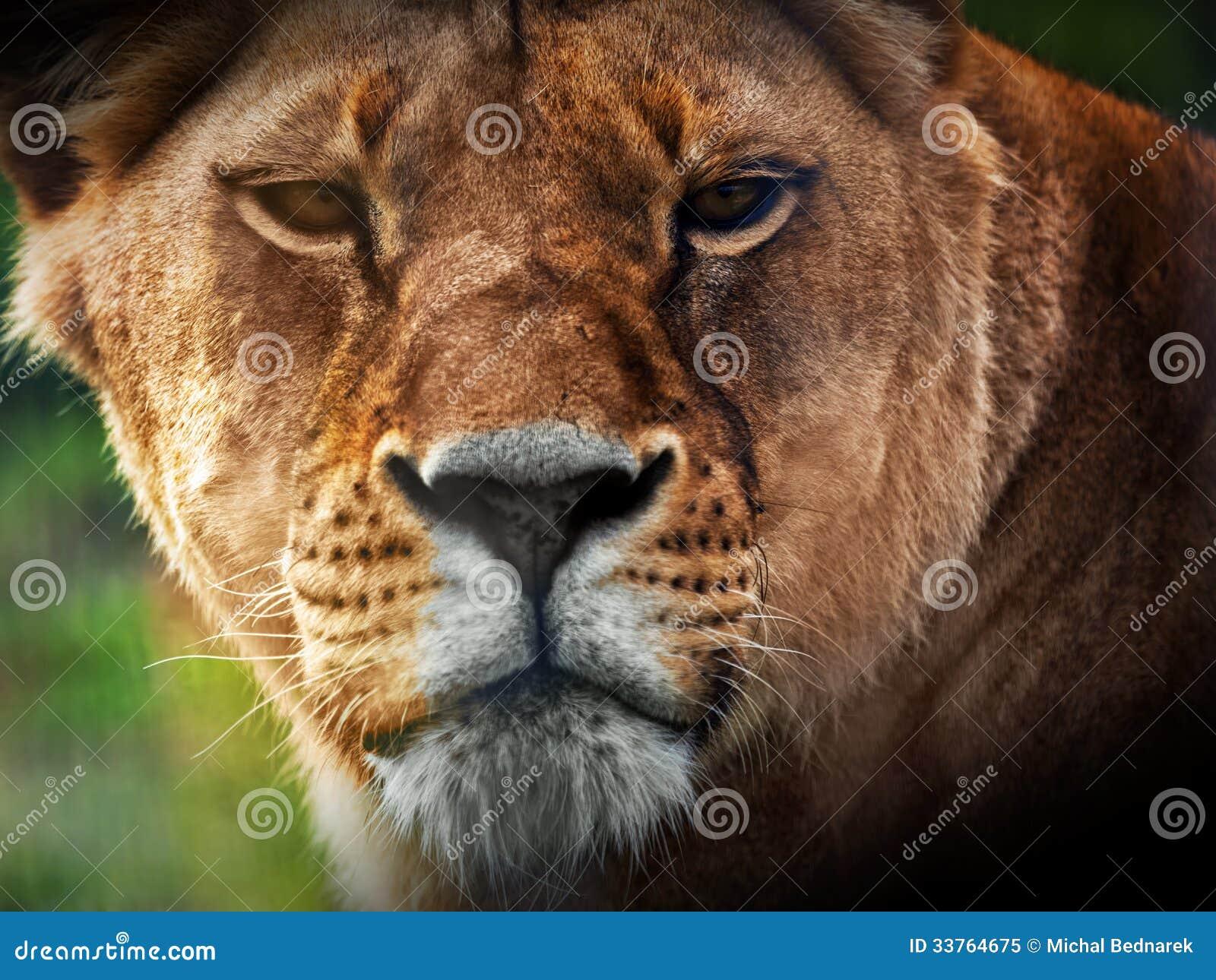 Lioness Front View Lioness lion portrait
