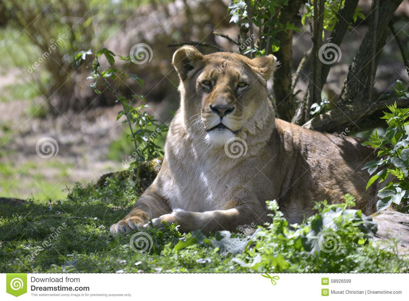 Lioness Front View Lioness Lying In Grass...
