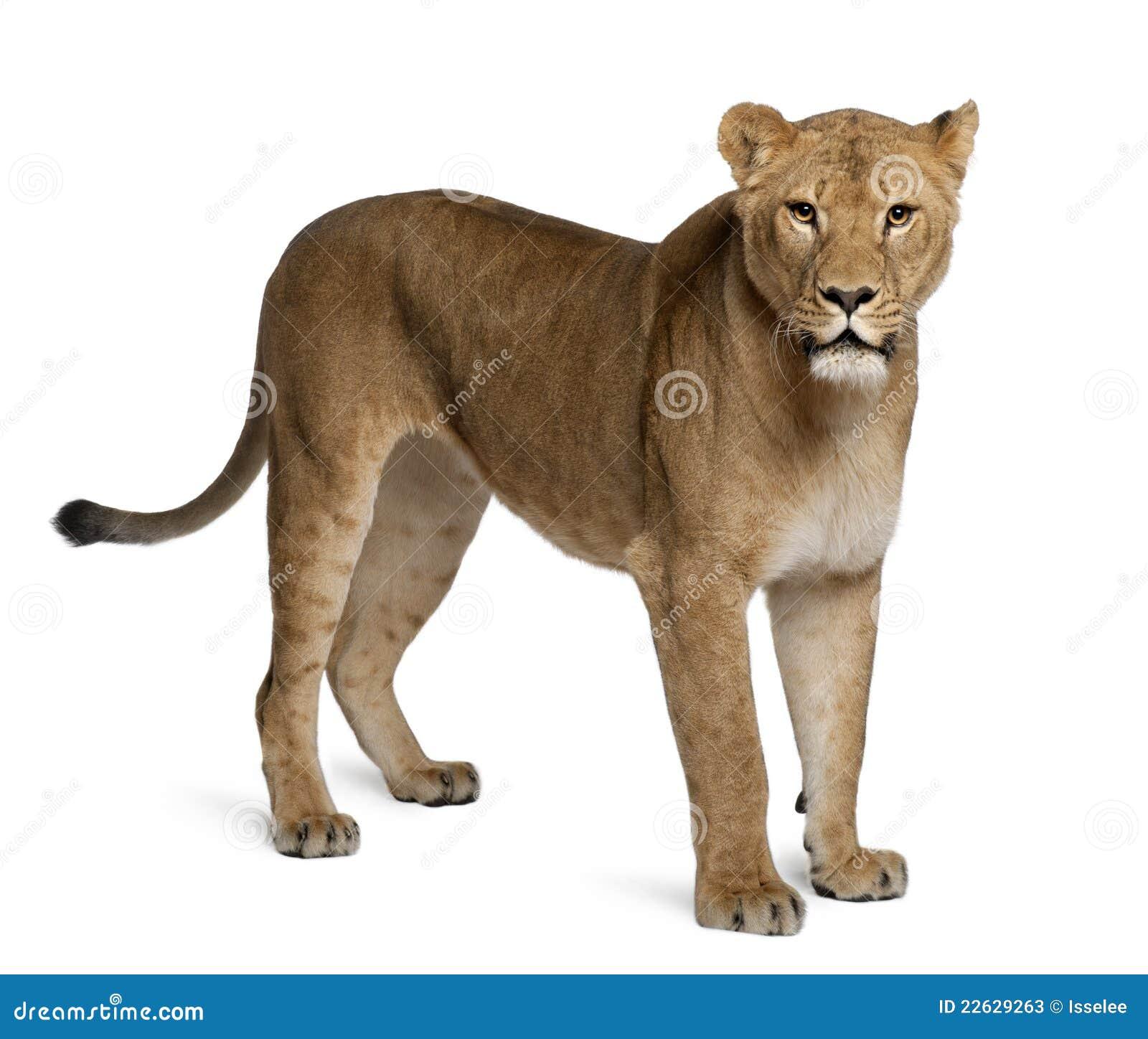Lioness, Panthera leo, 3 anni, levantesi in piedi