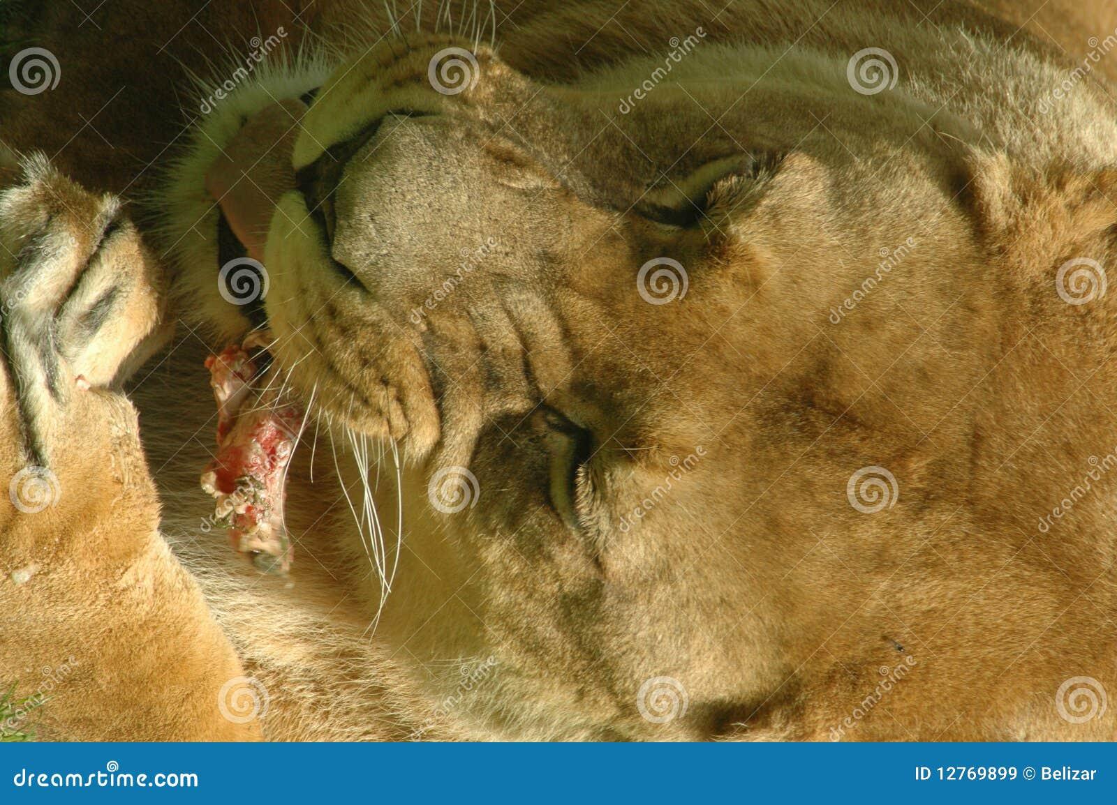 Lioness (Panthera leo) dinner