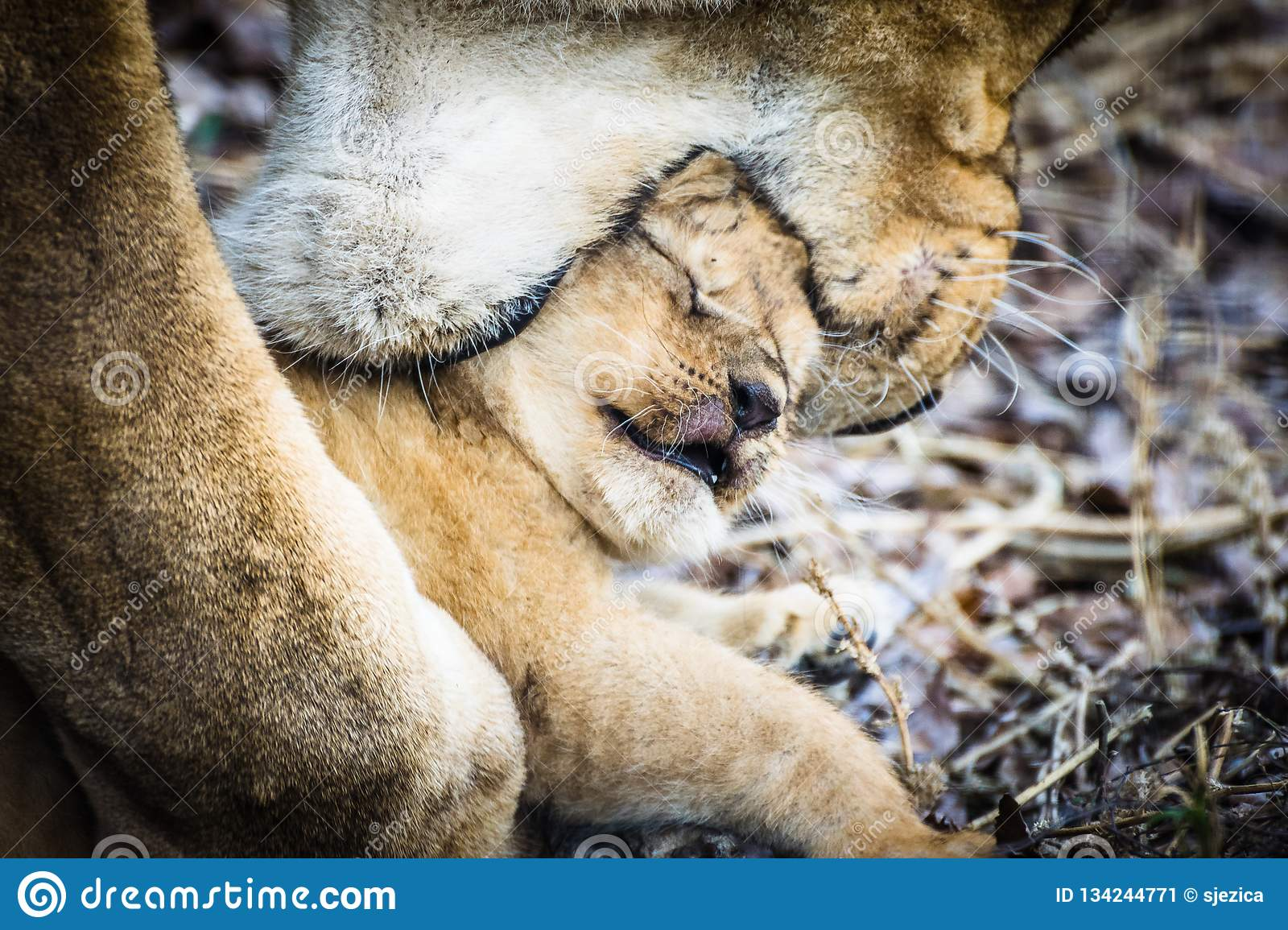 Liones mother Panthera leo carries her baby in the mouth