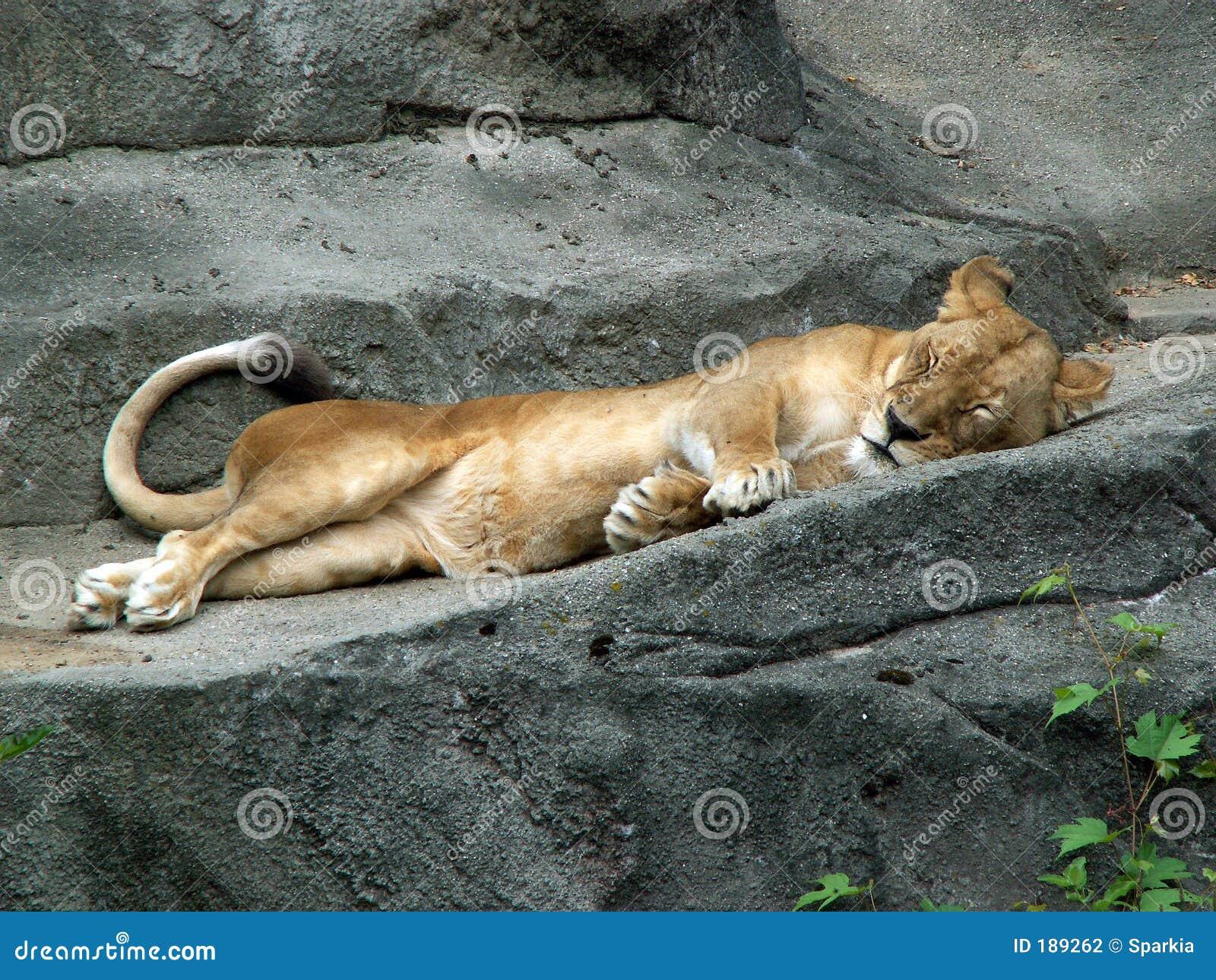 Lioness pigro
