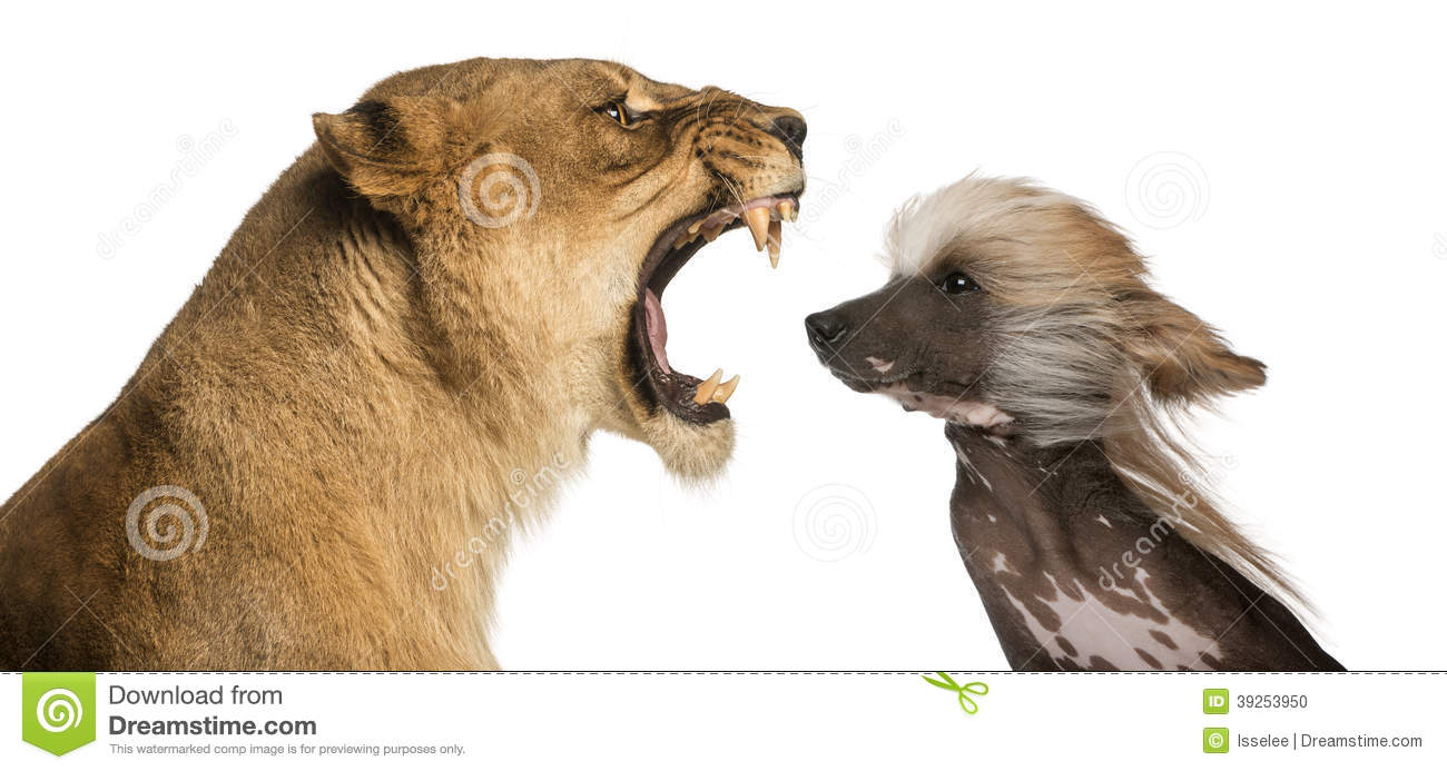 Lioness roaring at a Chinese Crested Dog s face