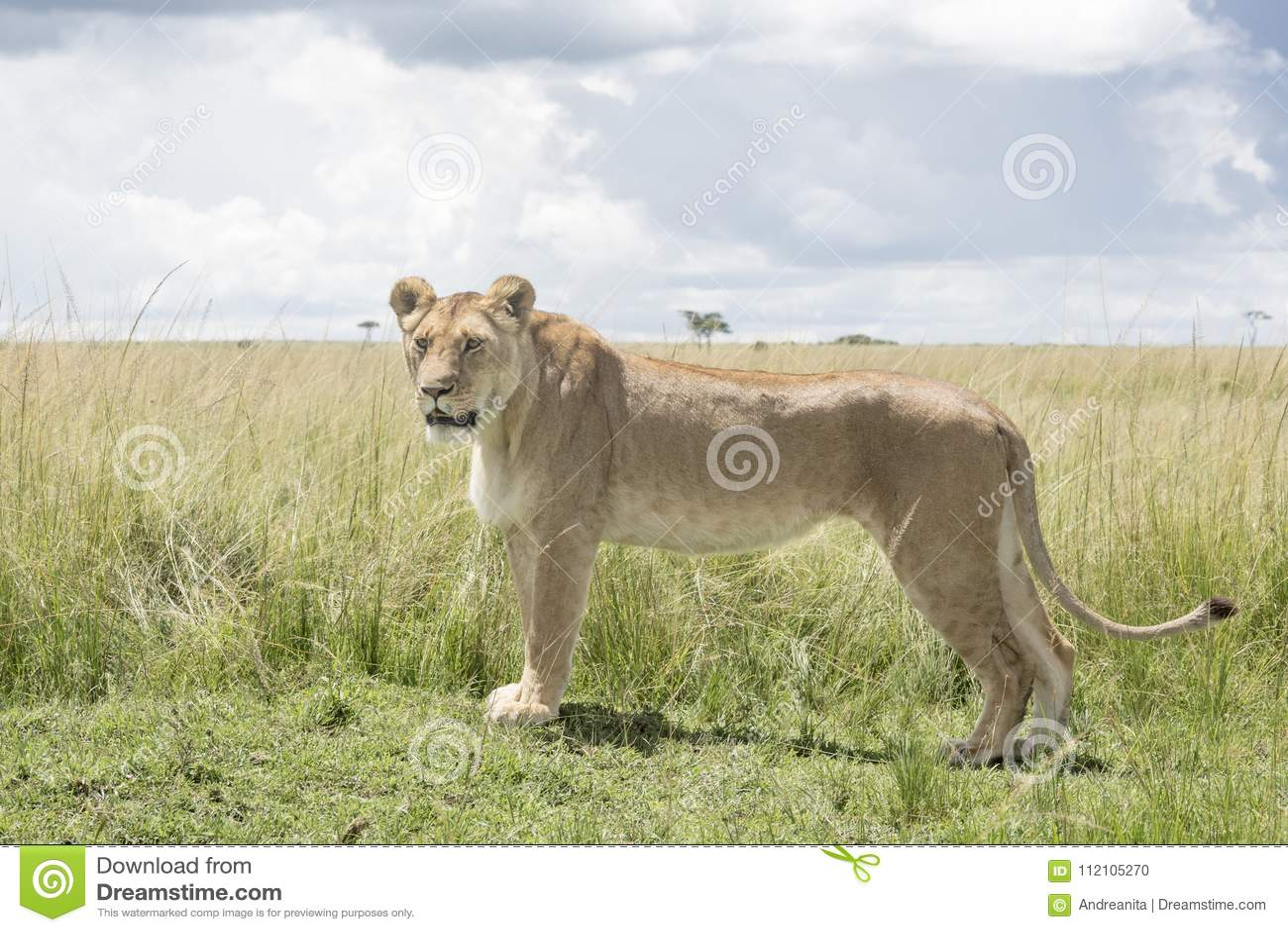 Lioness on savannah