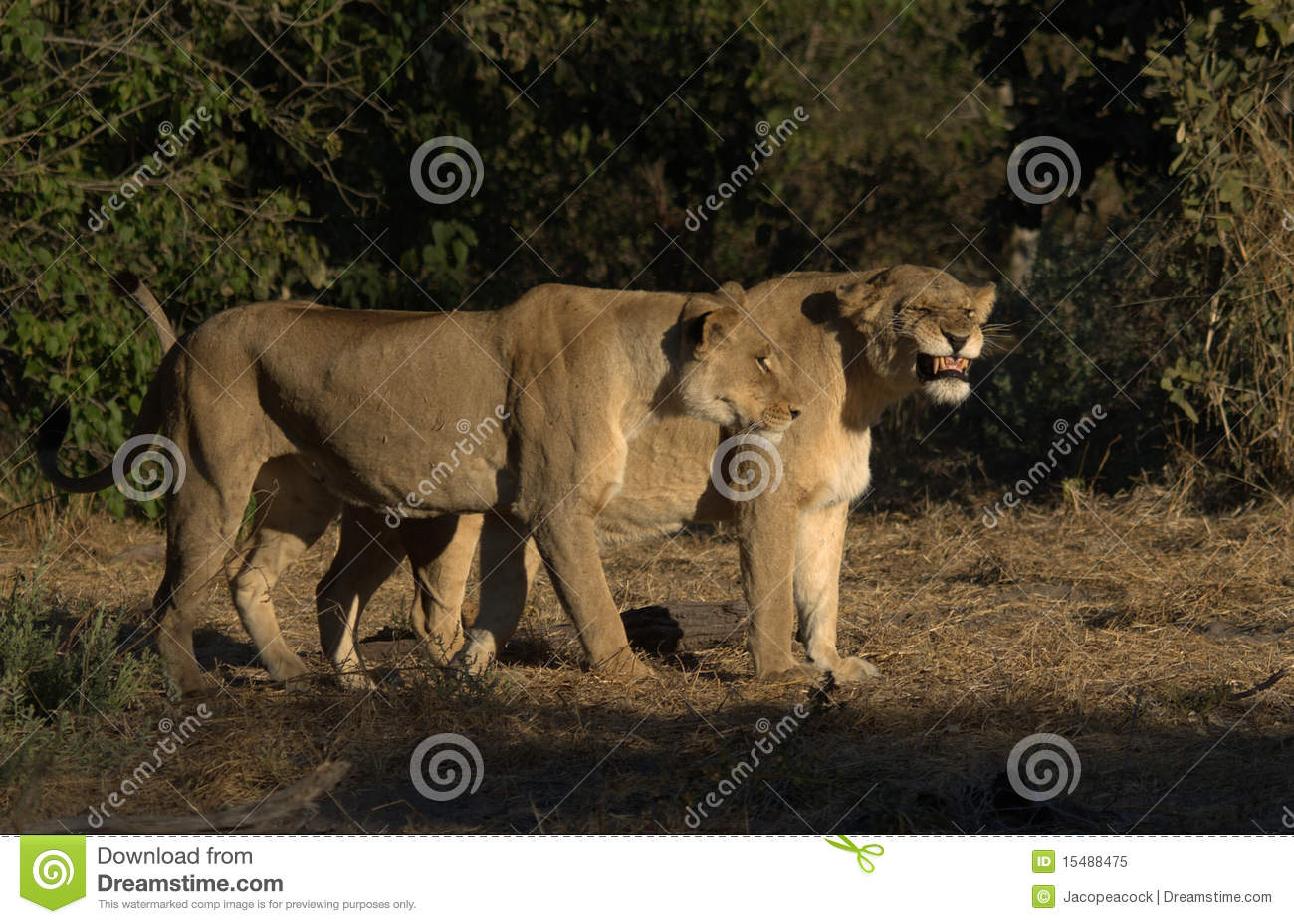 Lioness Showing Teeth Royalty Free Stock Photo - Image: 15488475