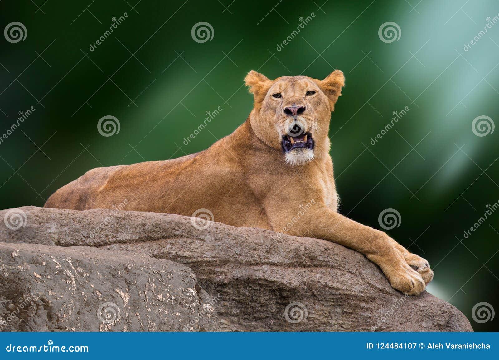 Lioness som ligger på rock