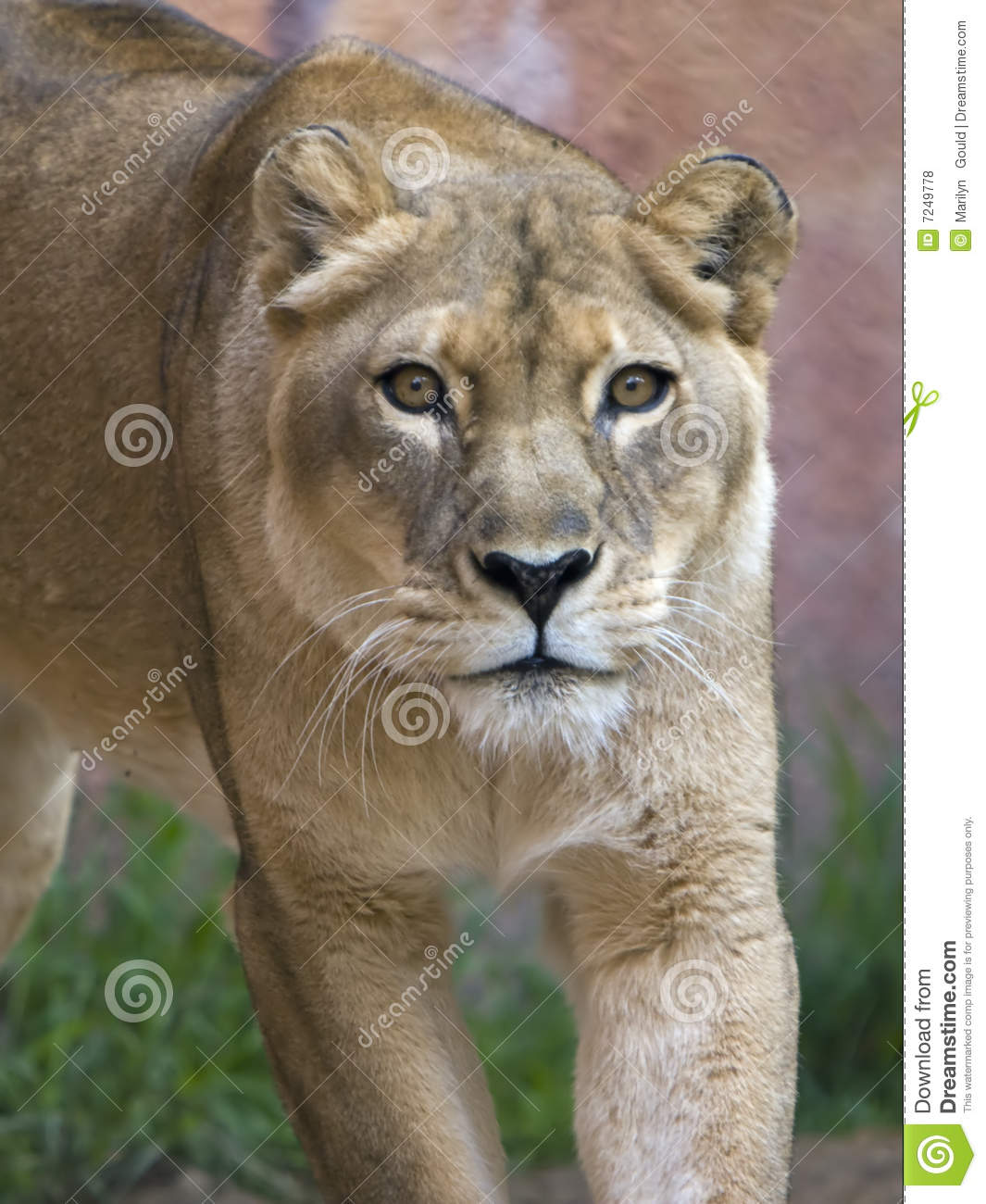Lioness Front View Lioness Stalking Royal...