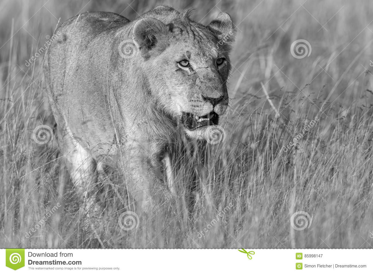 Lioness Stalking In Black And White Stock Image - Image of ...