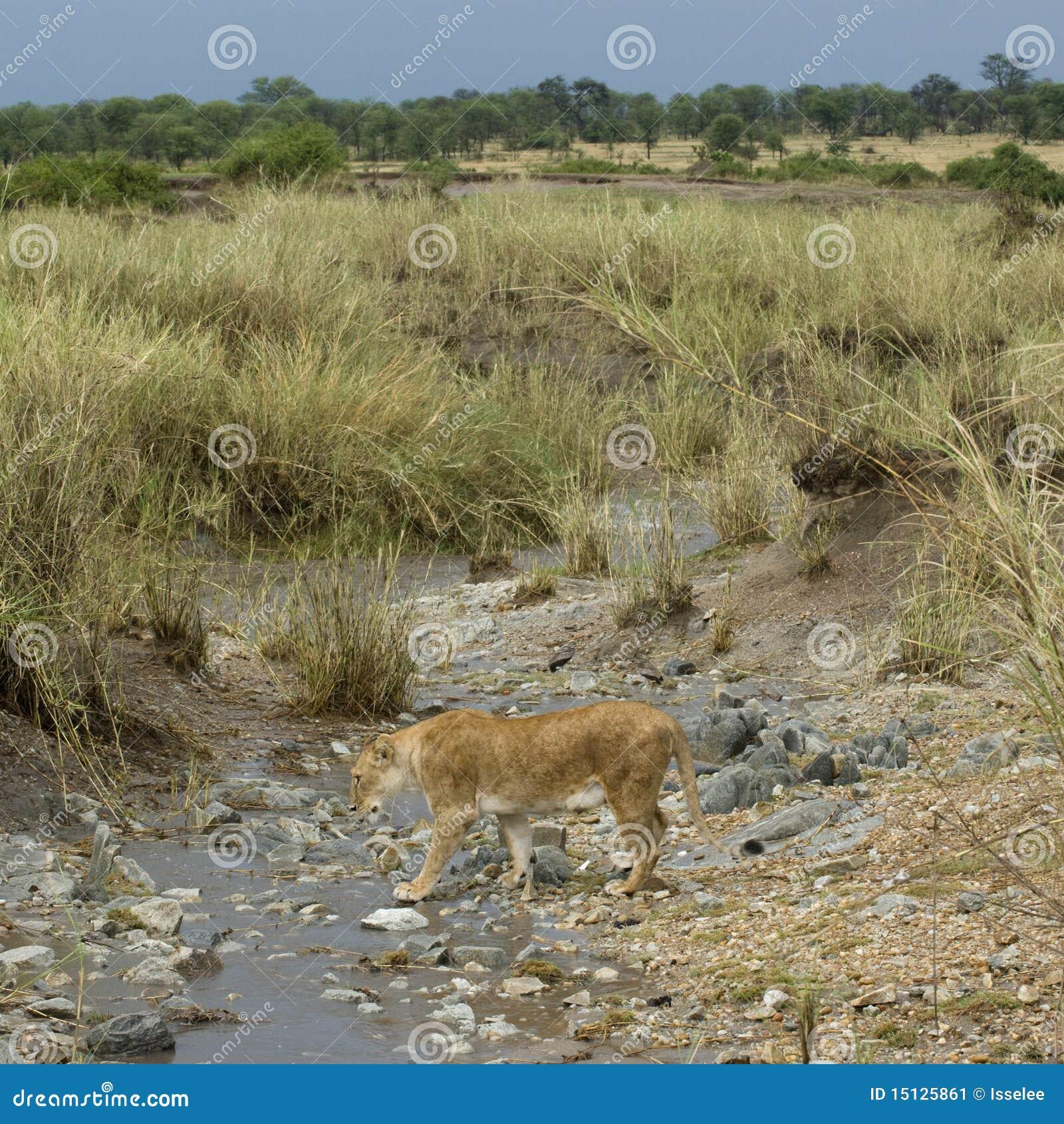 Serengeti Stream