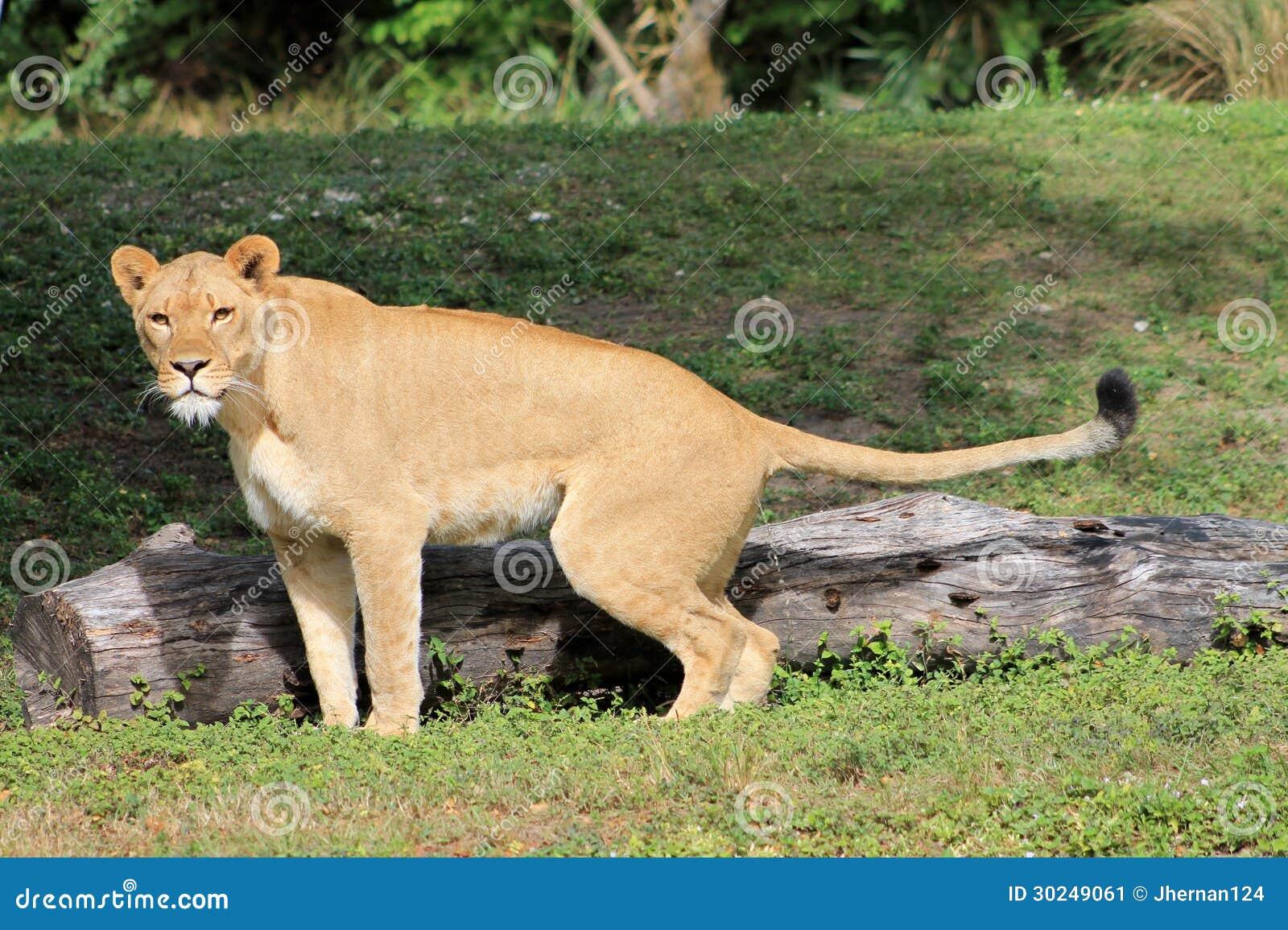 Lioness Nature Calls Stock Image Image 30249061
