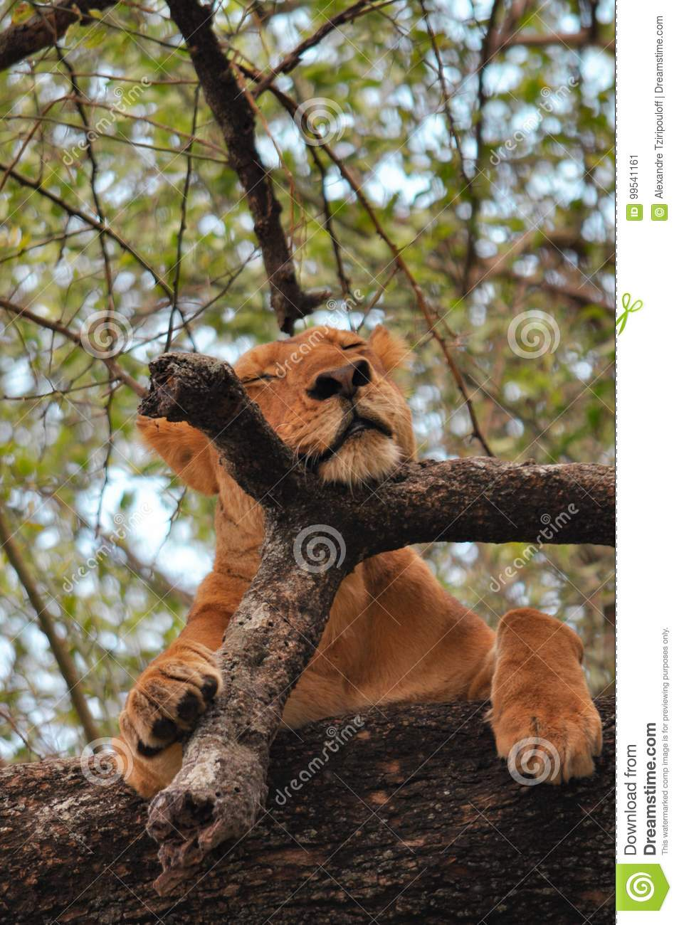 A lioness in a tree in Lake park, Tanzania.