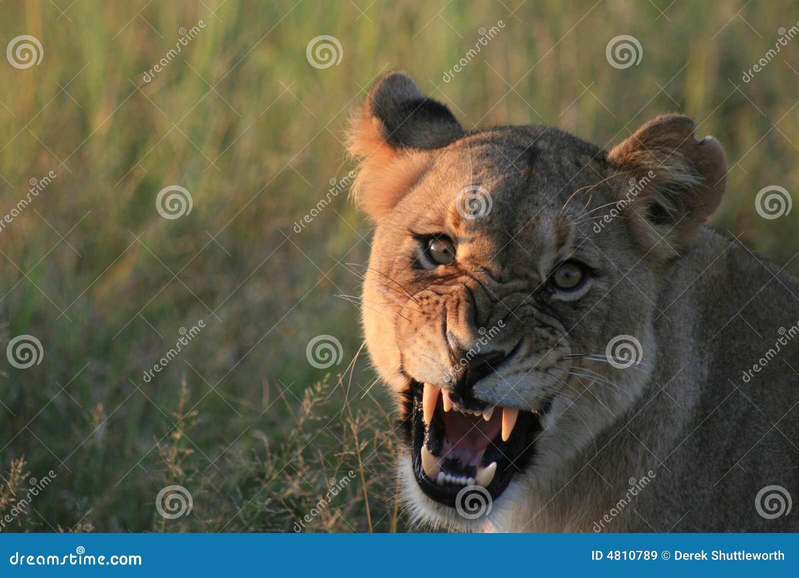 Lionessbrummande