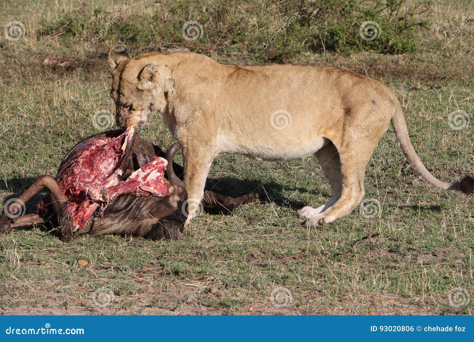 Lionesse che mangia preda vivente