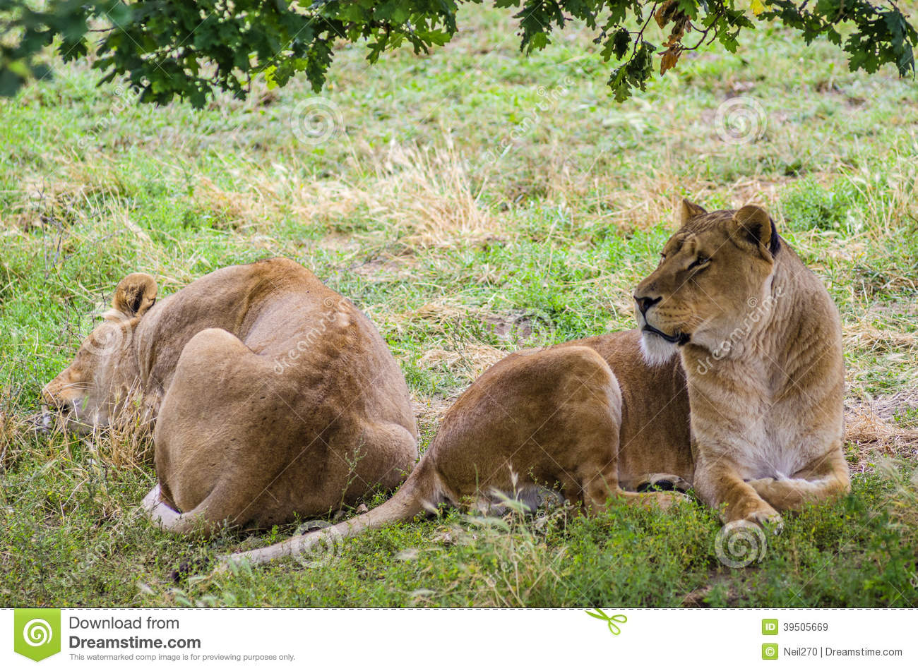 Lionesses Resting In The Sun