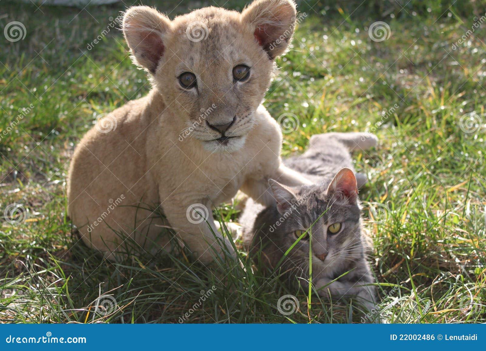 Lionet och katt