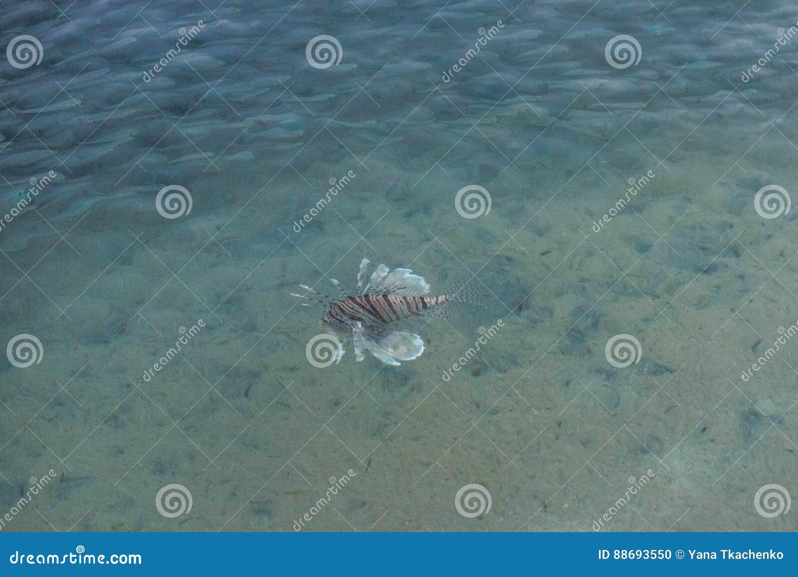 Lionfish africano