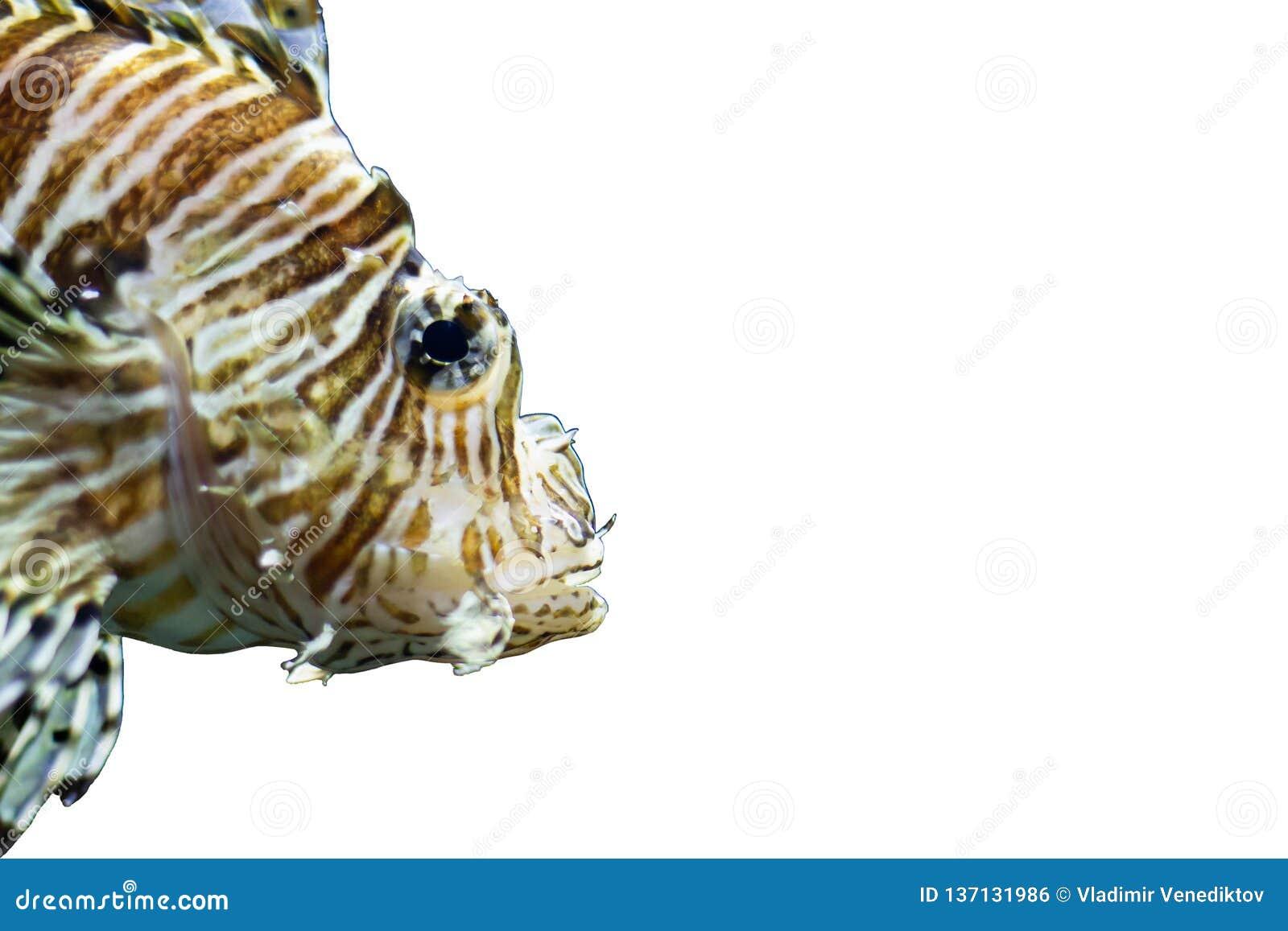 Lionfish di Radiata su un fondo bianco