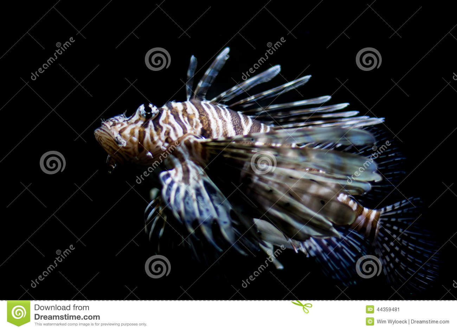 Lionfish, foto a figura intera