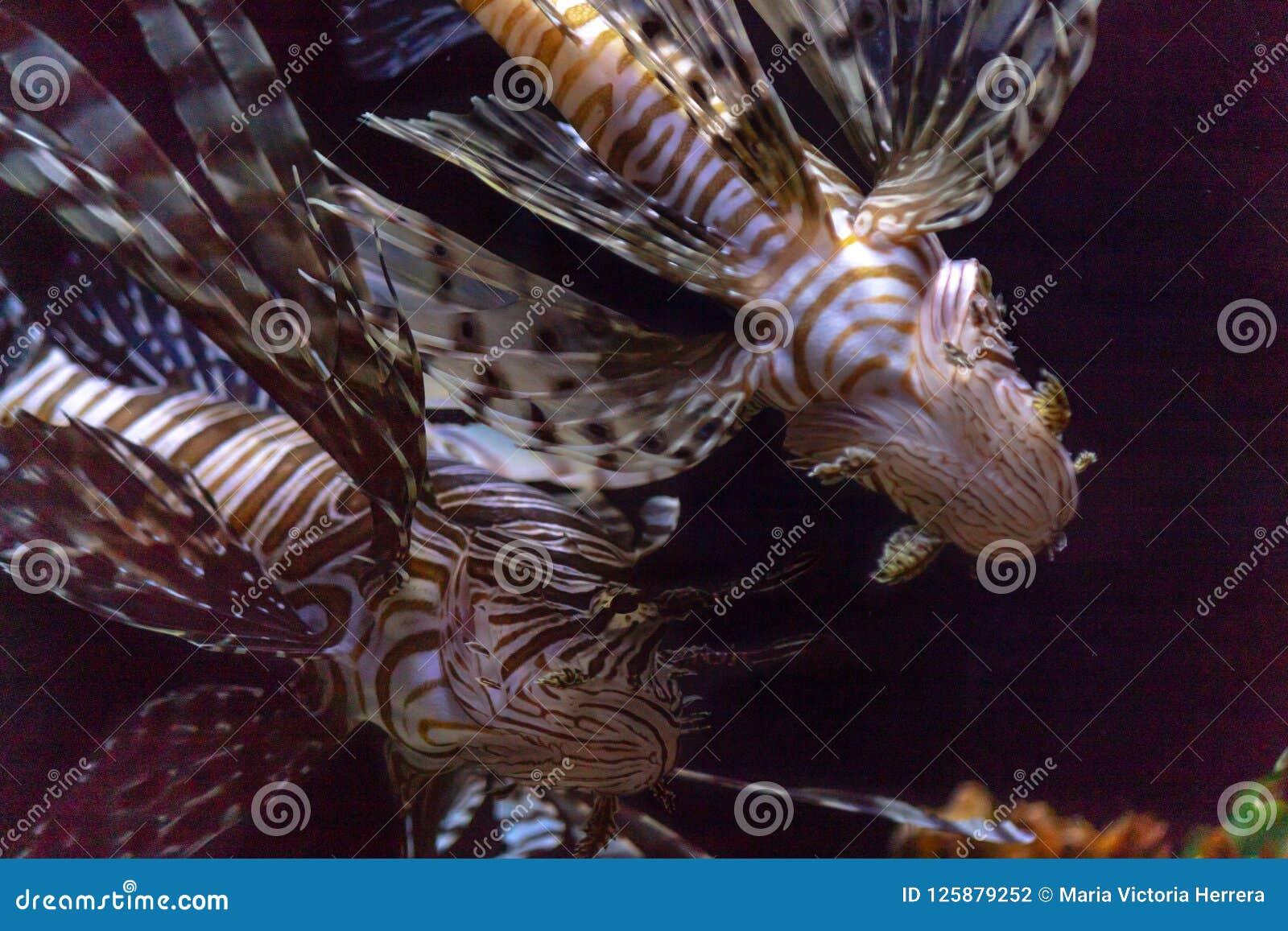 Lionfish inwazja w Karaiby