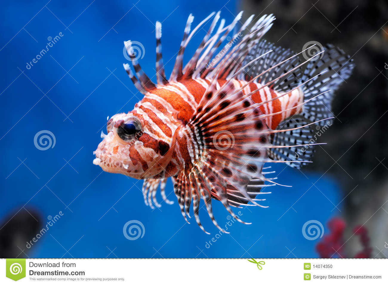 Lionfish (mombasae del Pterois)
