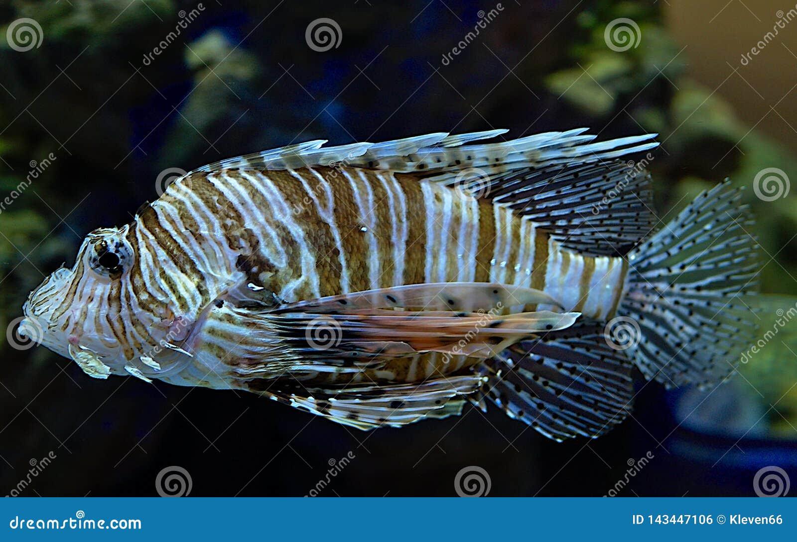 Lionfish no Kogalym Oceanarium em Sibéria ocidental