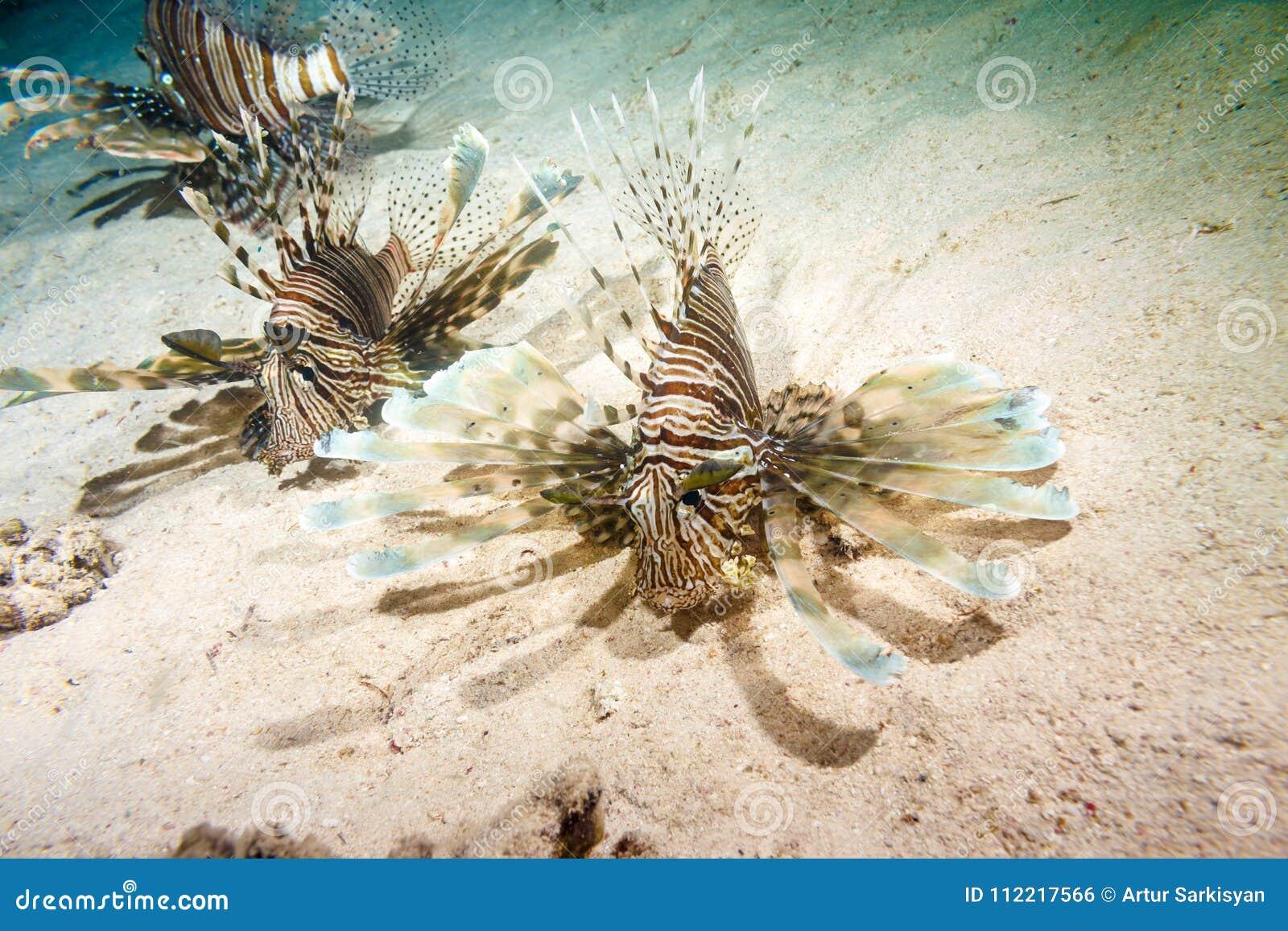 Lionfish på en nattjakt
