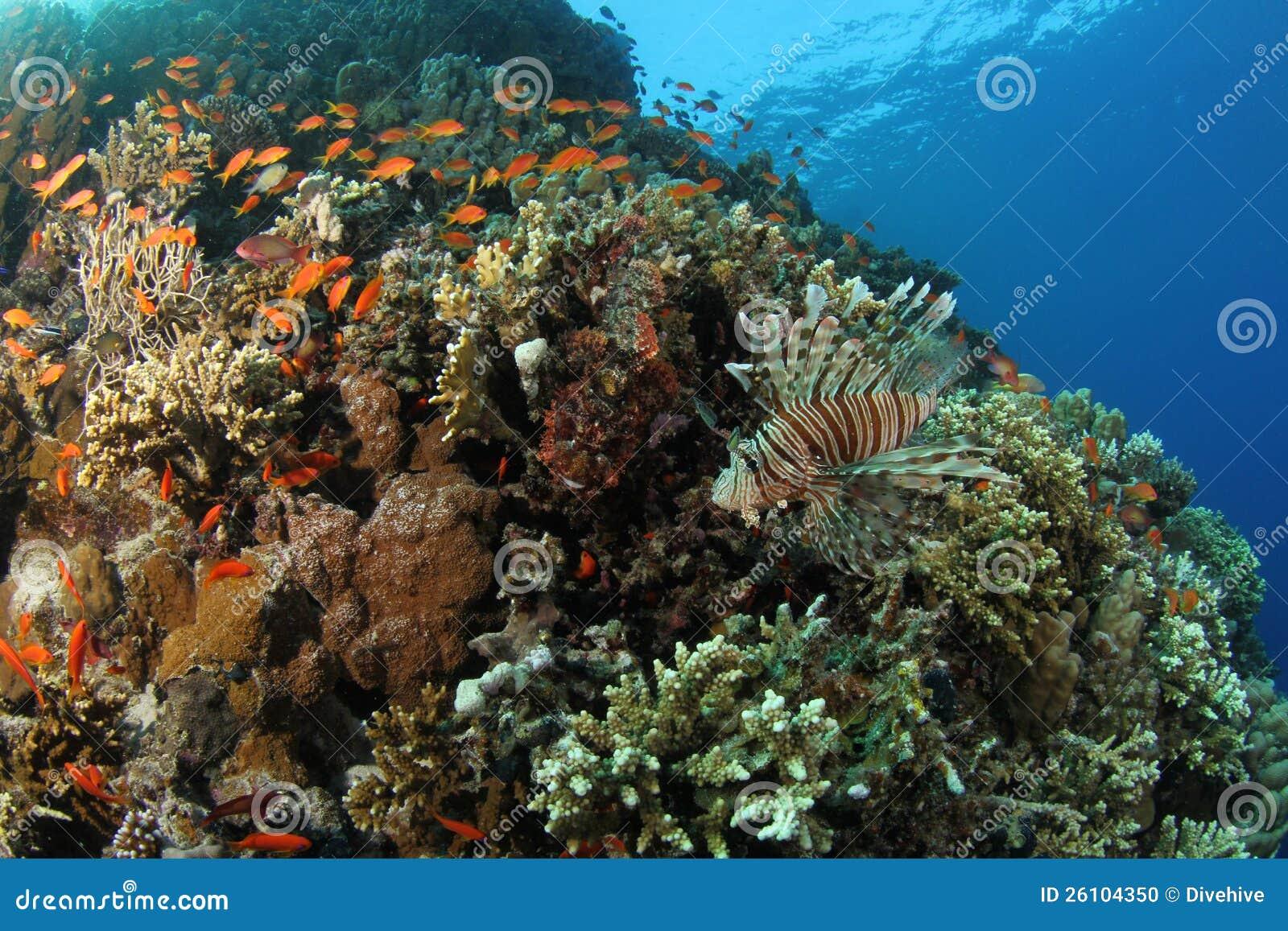 Lionfish på en tropisk korallrev i det röda havet