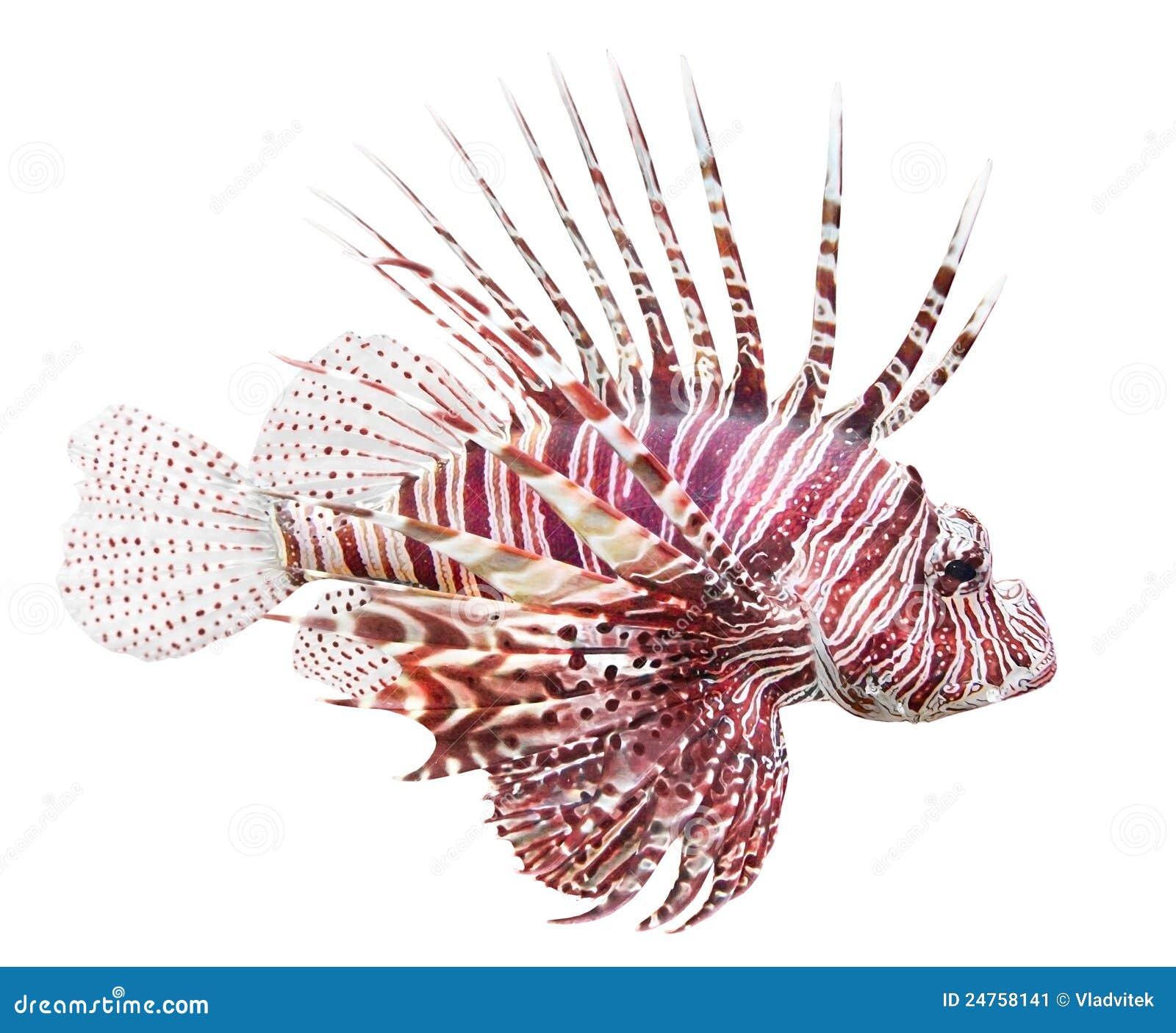 Lionfish pterois czerwieni volitans