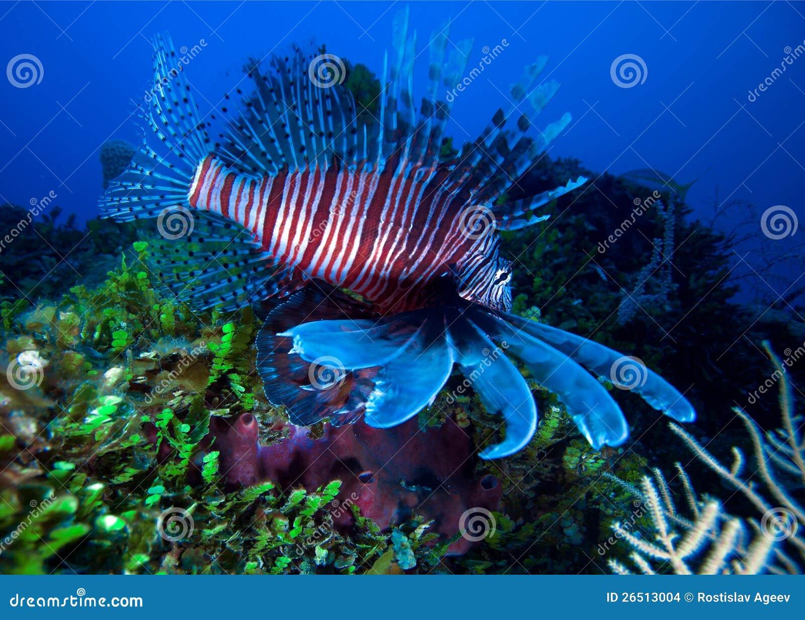 Lionfish (Pterois) vicino a corallo, Largo di Cayo, Cuba