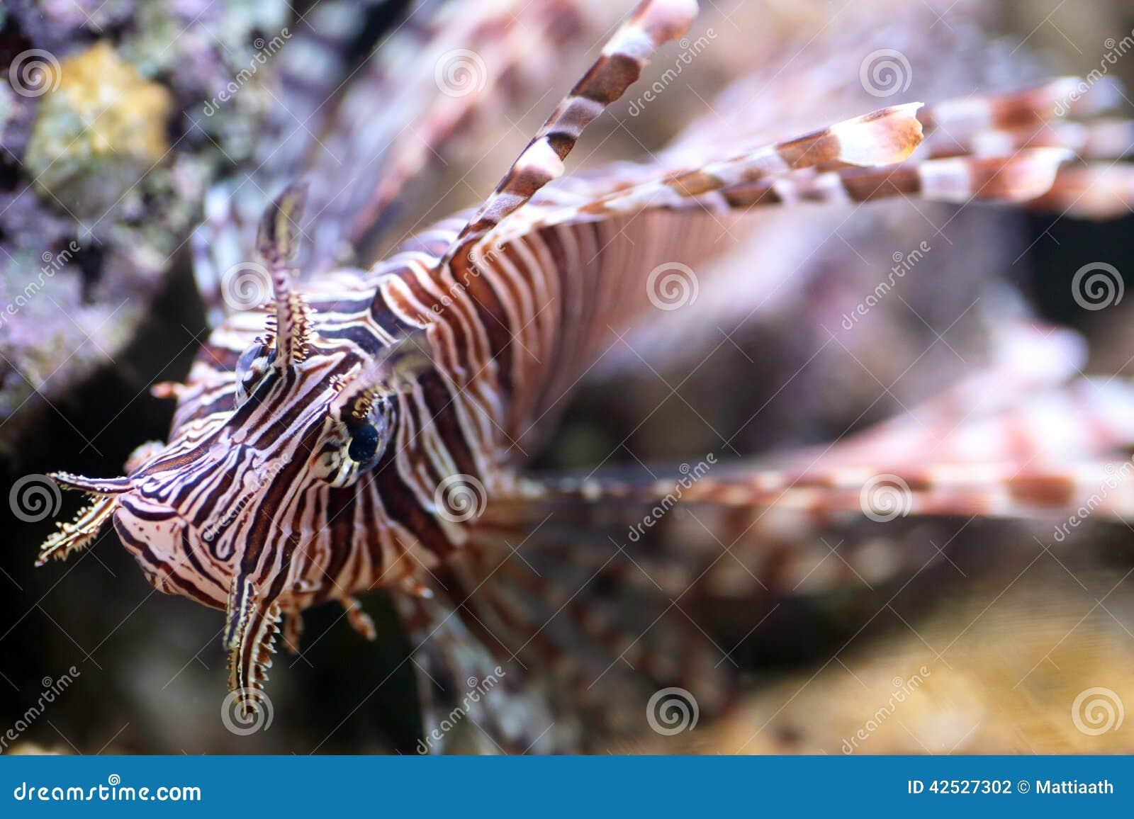 Lionfish Rouge, Un Poisson Venimeux De Récif Coralien Photo stock ...