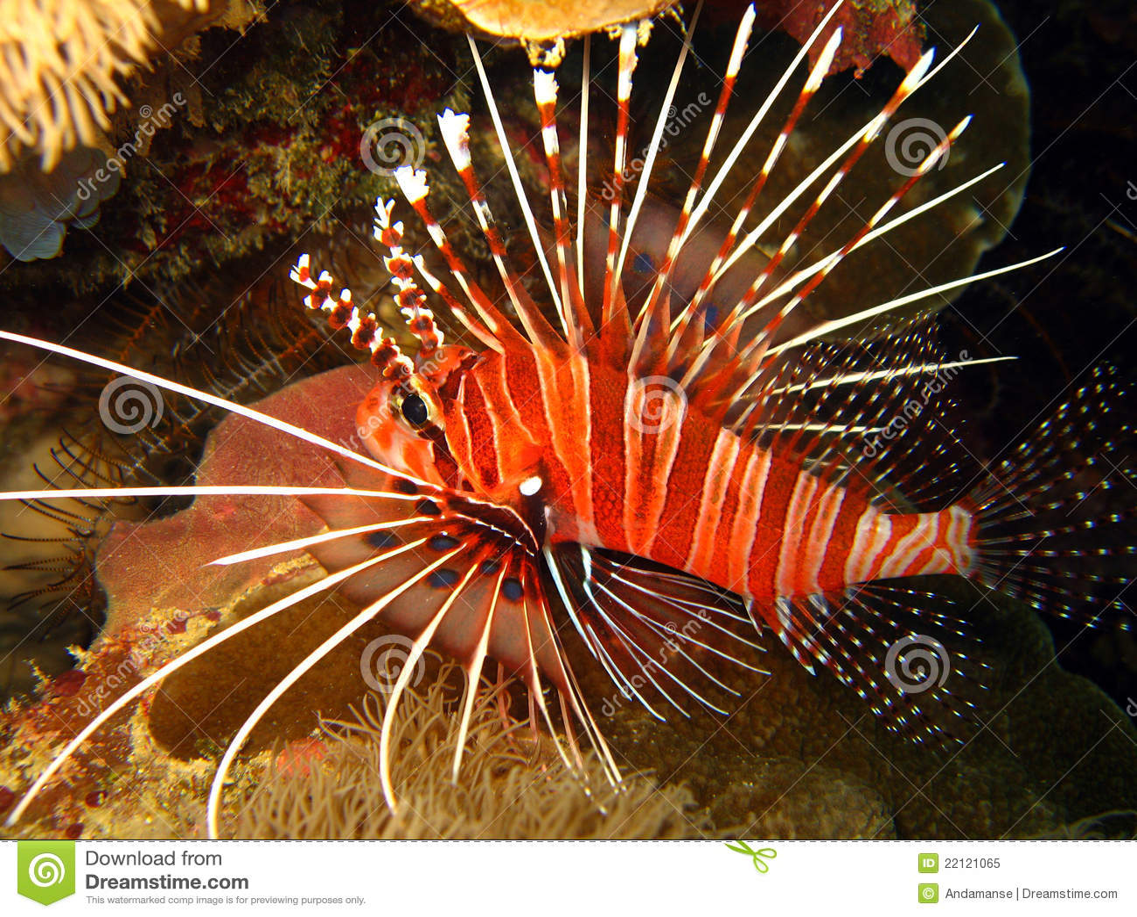 Lionfish spotfin
