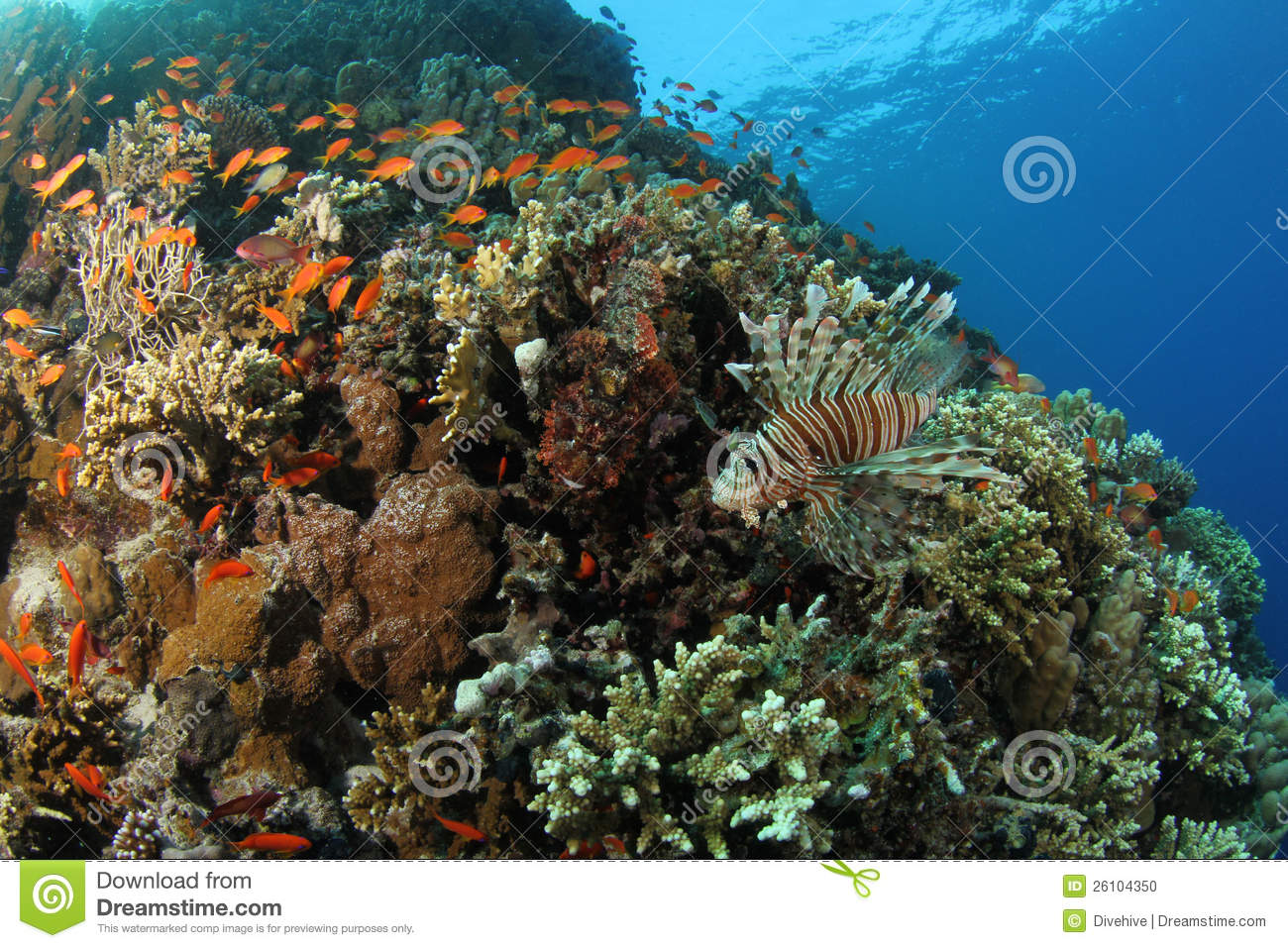 Lionfish on a tropical coral reef in the Red Sea