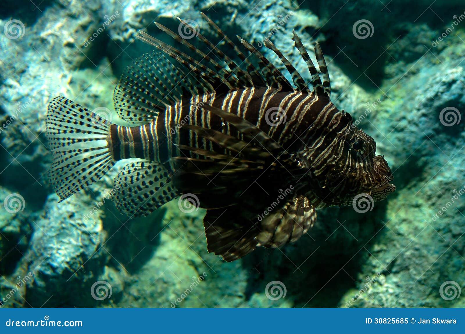 Lionfish tropicale del pesce
