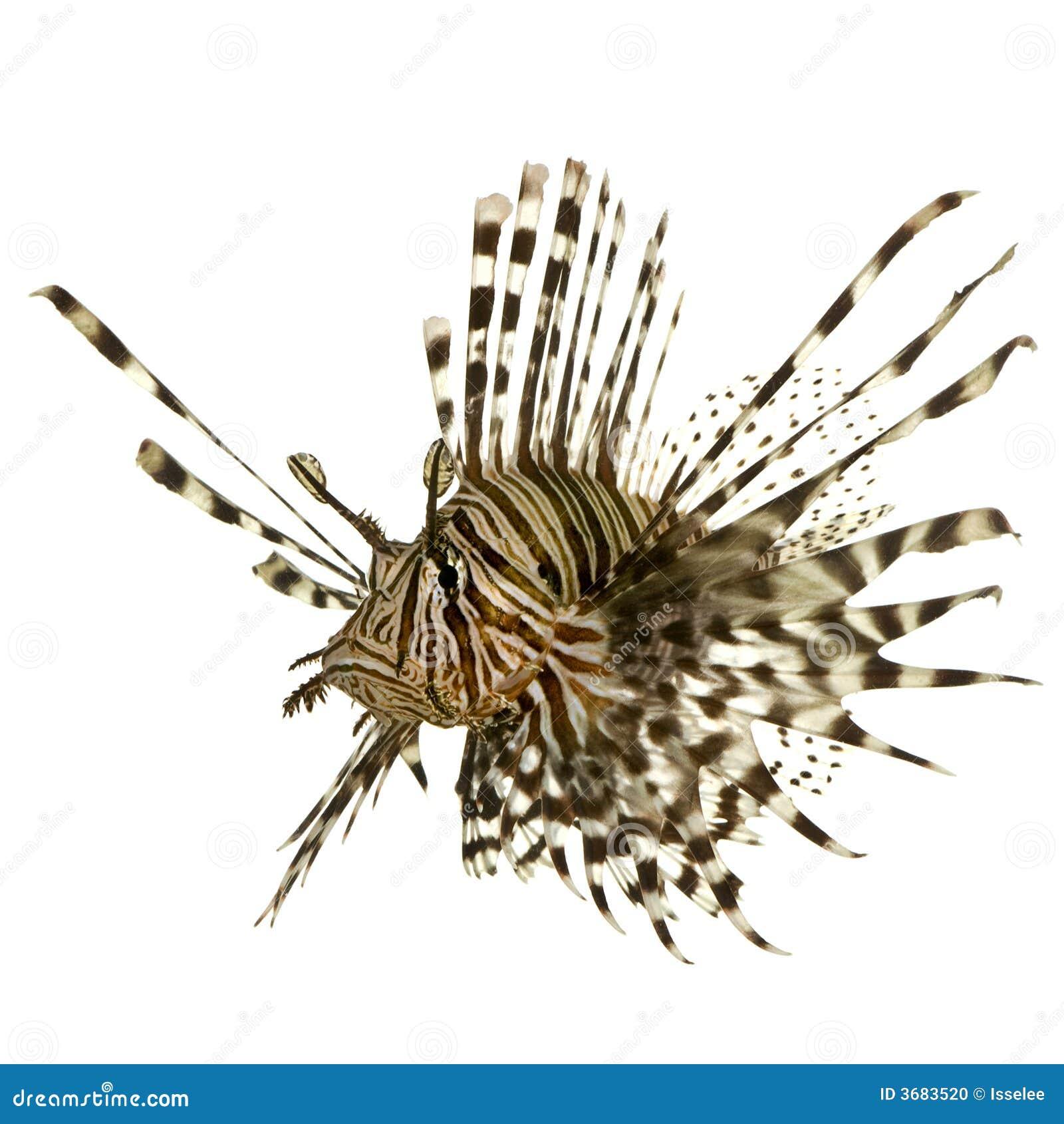 Lionfish vermelho - volitans do Pterois