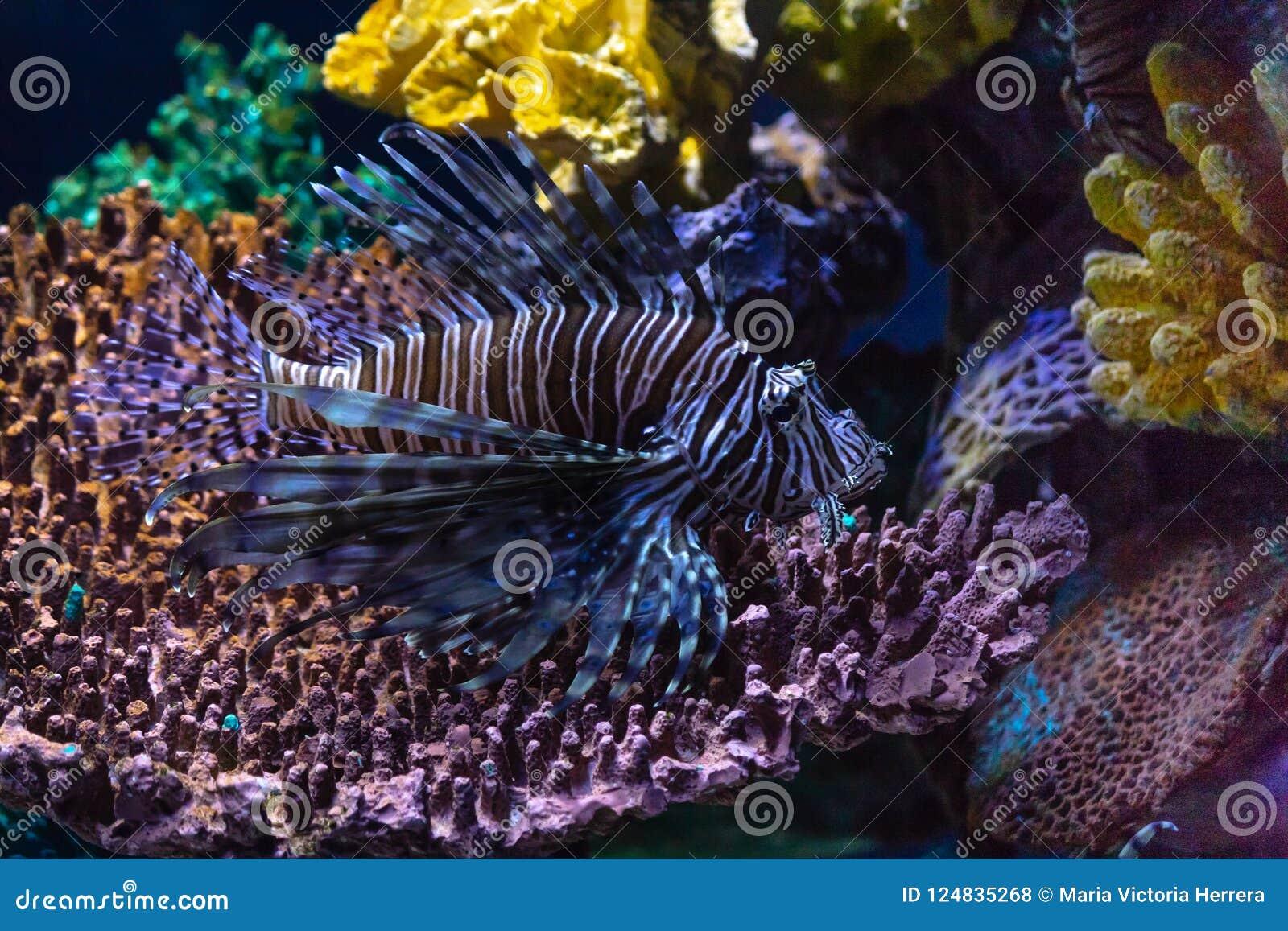 Lionfishinvasion i det karibiskt