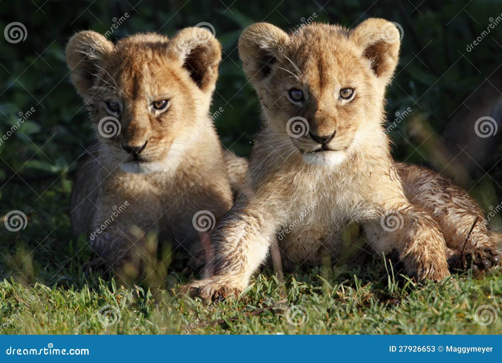 Liongröngölingar, Serengeti