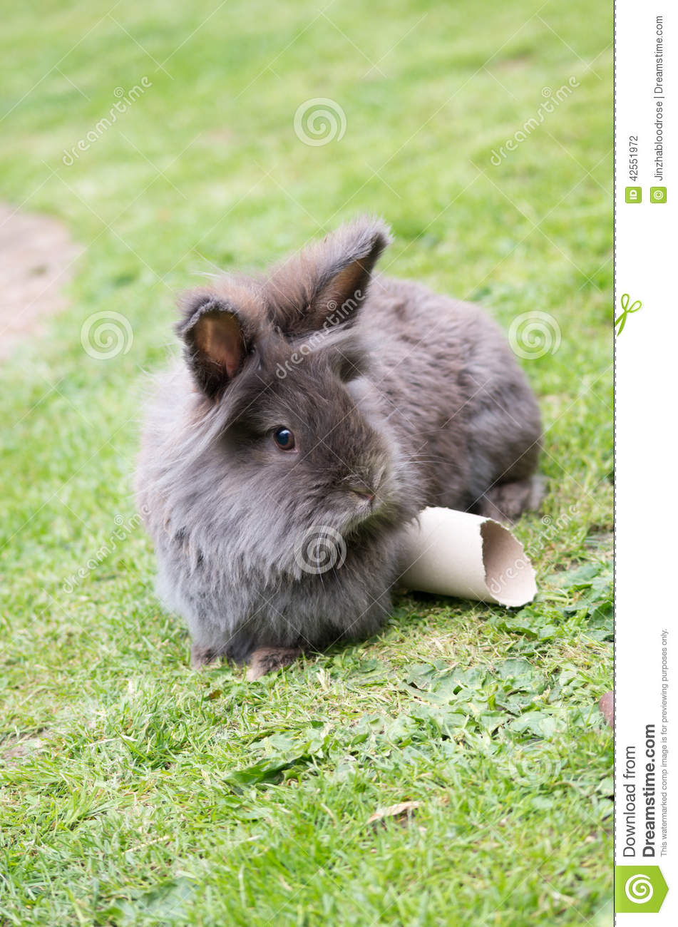 Brown and white lionhead rabbit - photo#41