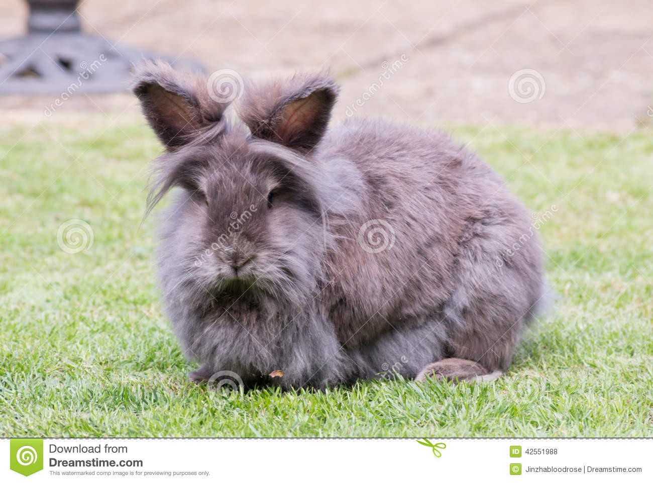 Brown and white lionhead rabbit - photo#21