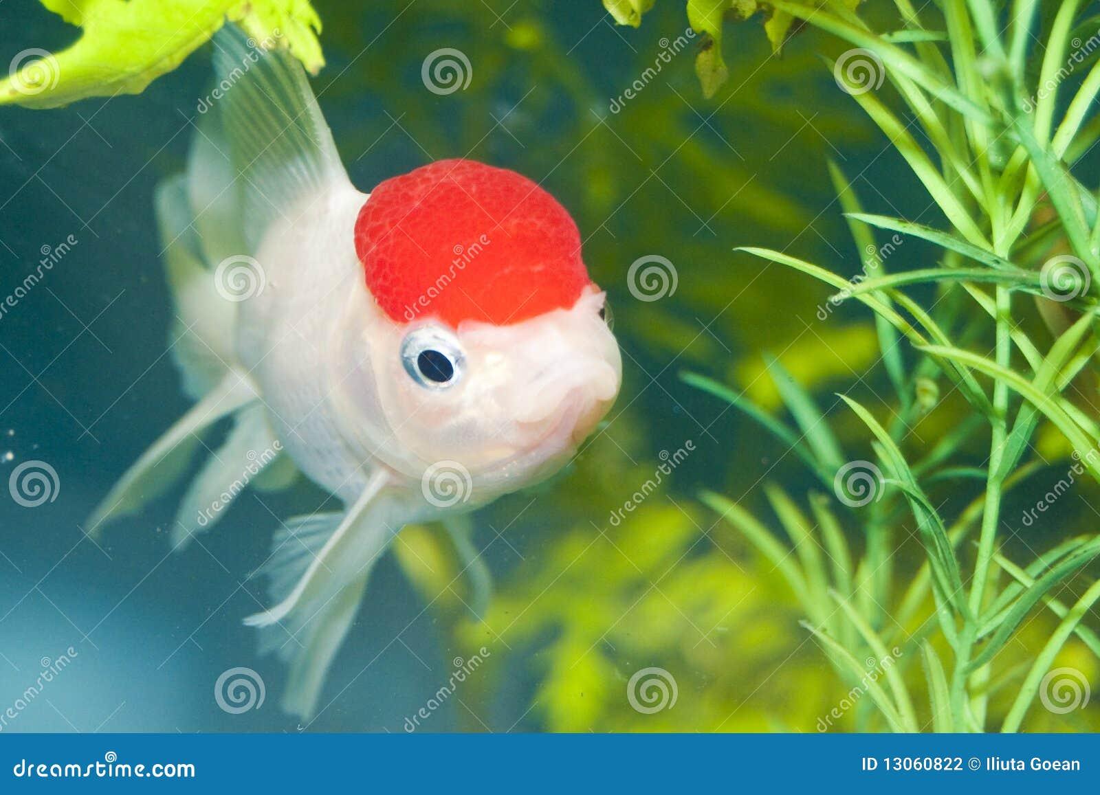 Lionhead wei er goldfisch im aquarium stockfotografie for Aquarium goldfische