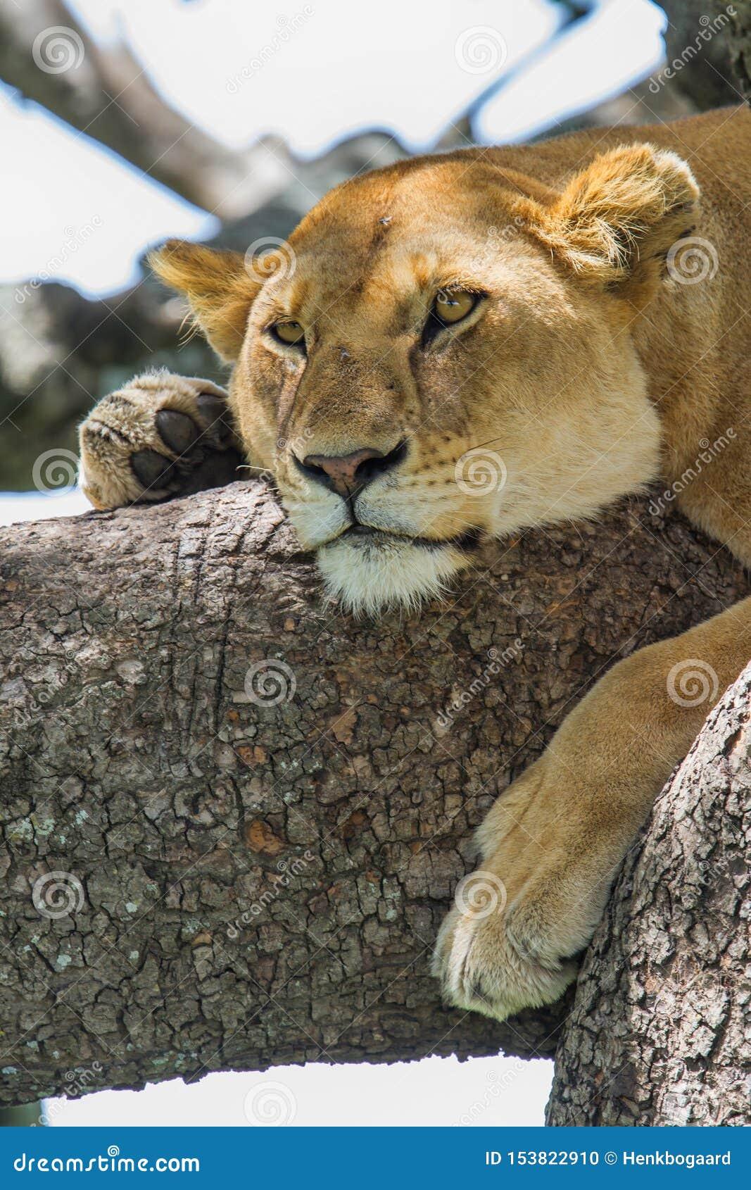 Lionne dans un arbre dans Serengeti