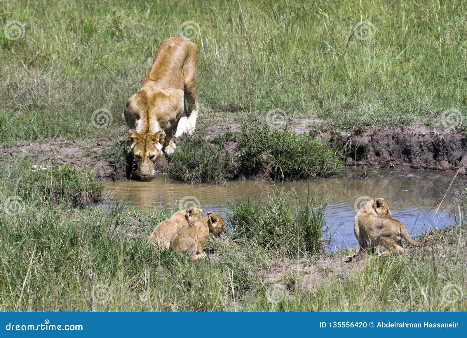 Lionne de mère buvant de la petite piscine