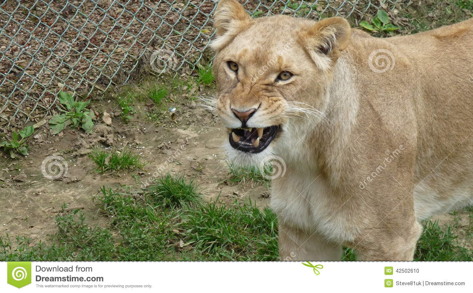 Lionne - préparez pour hurler