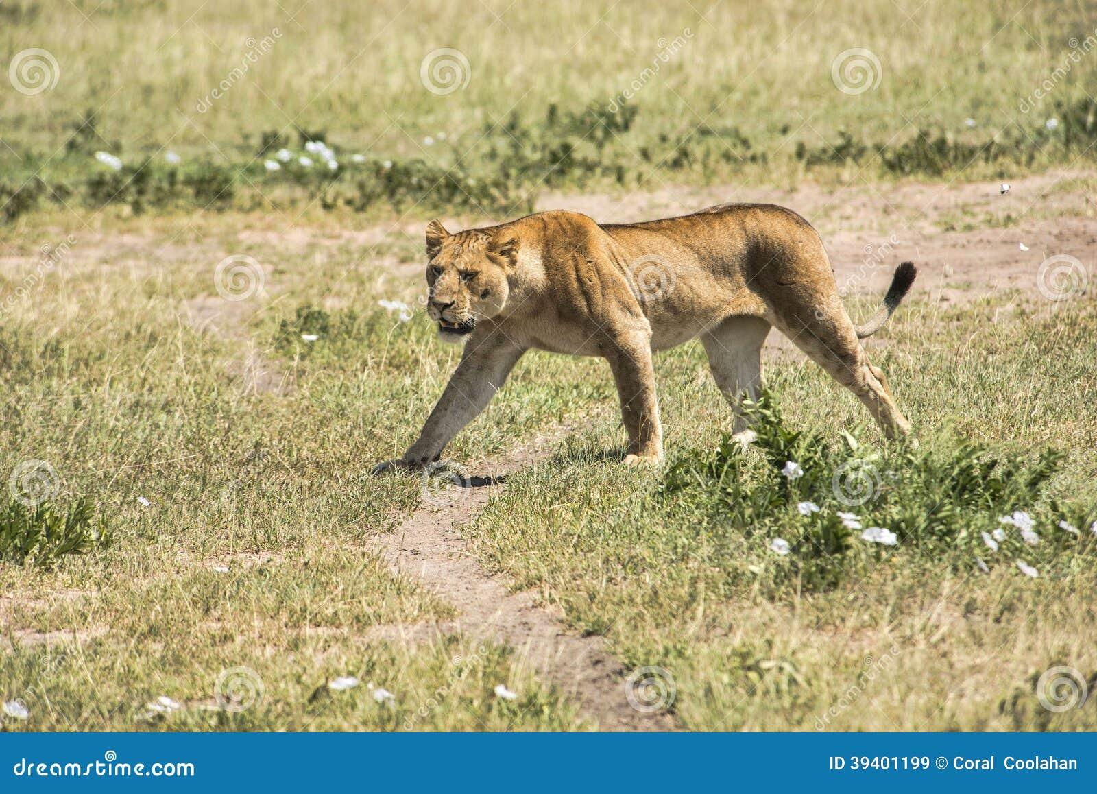 Lionne sur le prowel