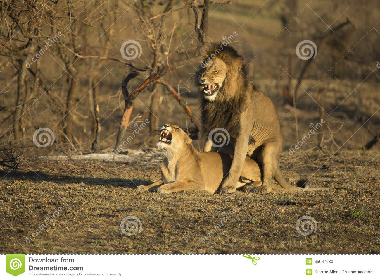 Lions breeding South Africa