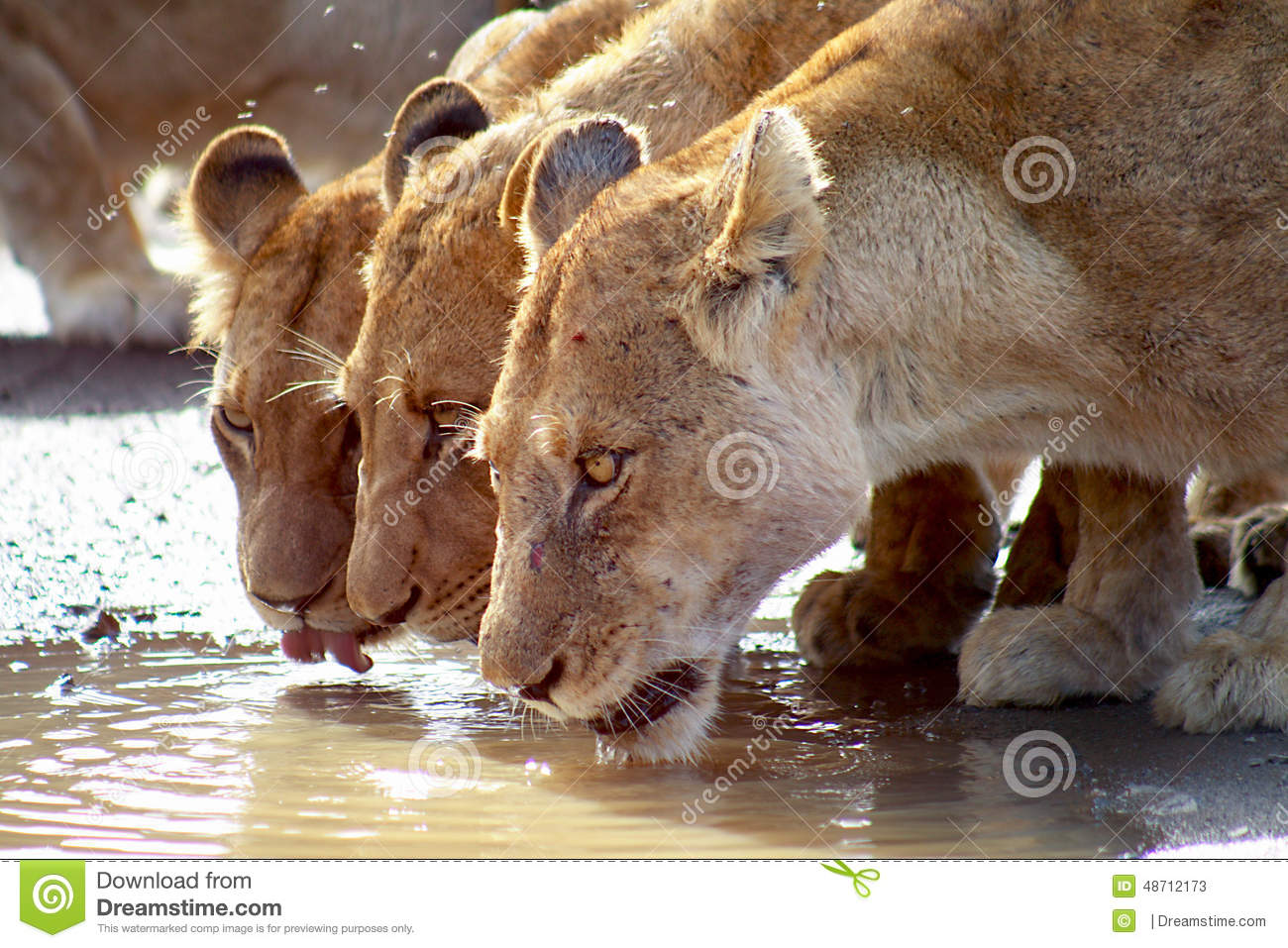 Lions drinking