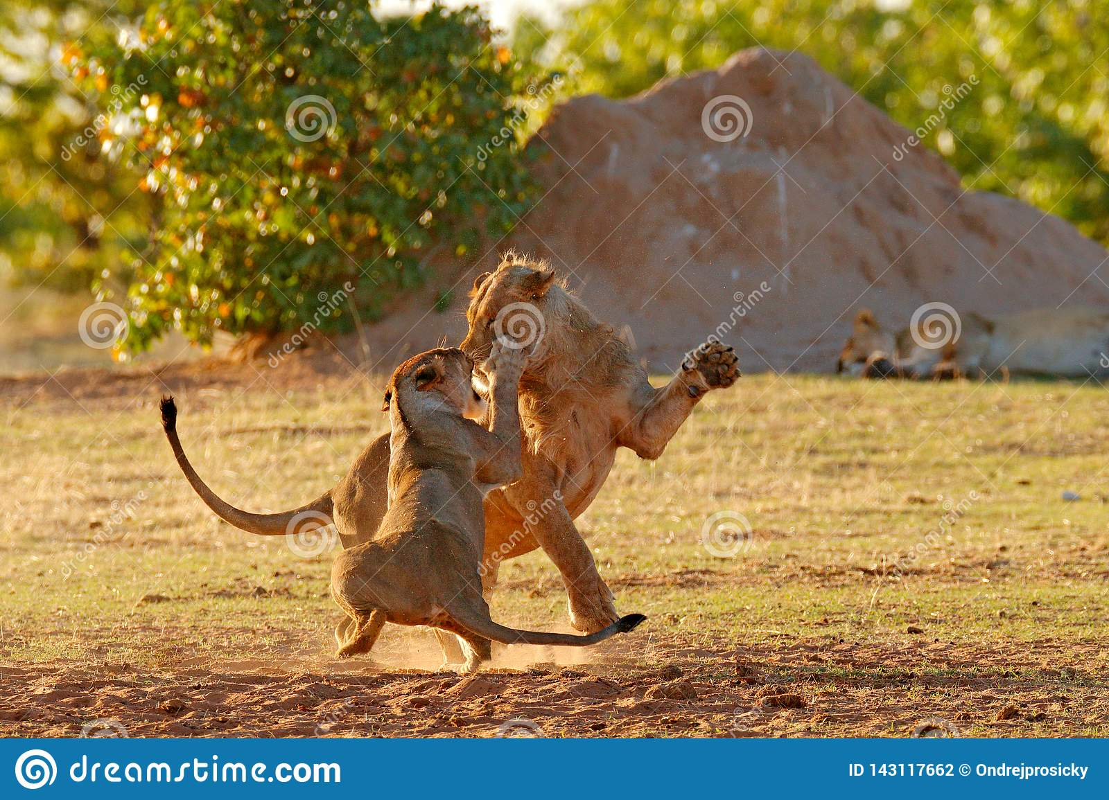 Lions Fight In The Sand  Lion With Open Muzzle  Pair Of African