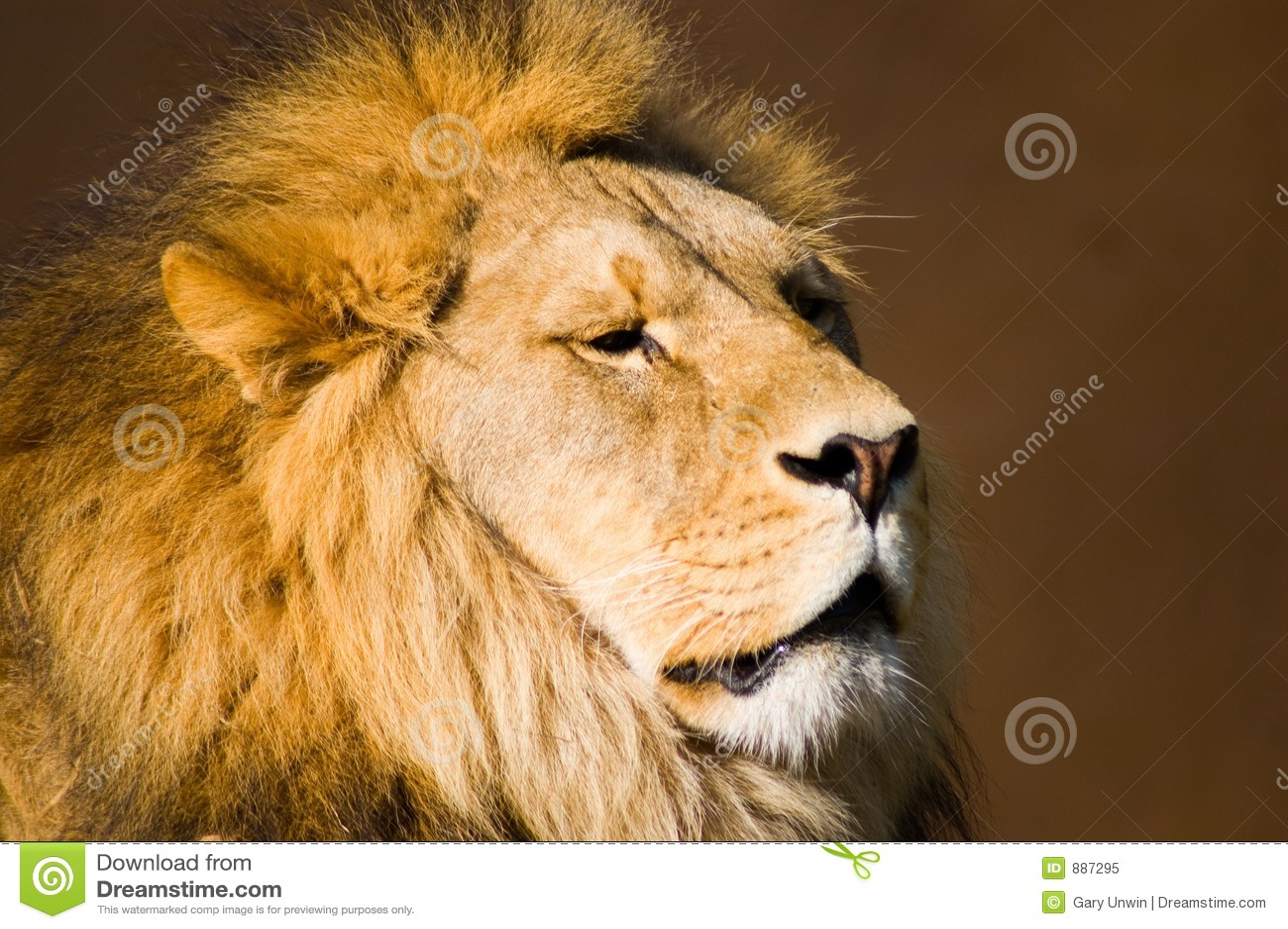 Lion head - photo#27