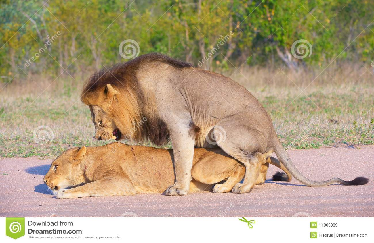 Lions (panthera leo) mating in the wild