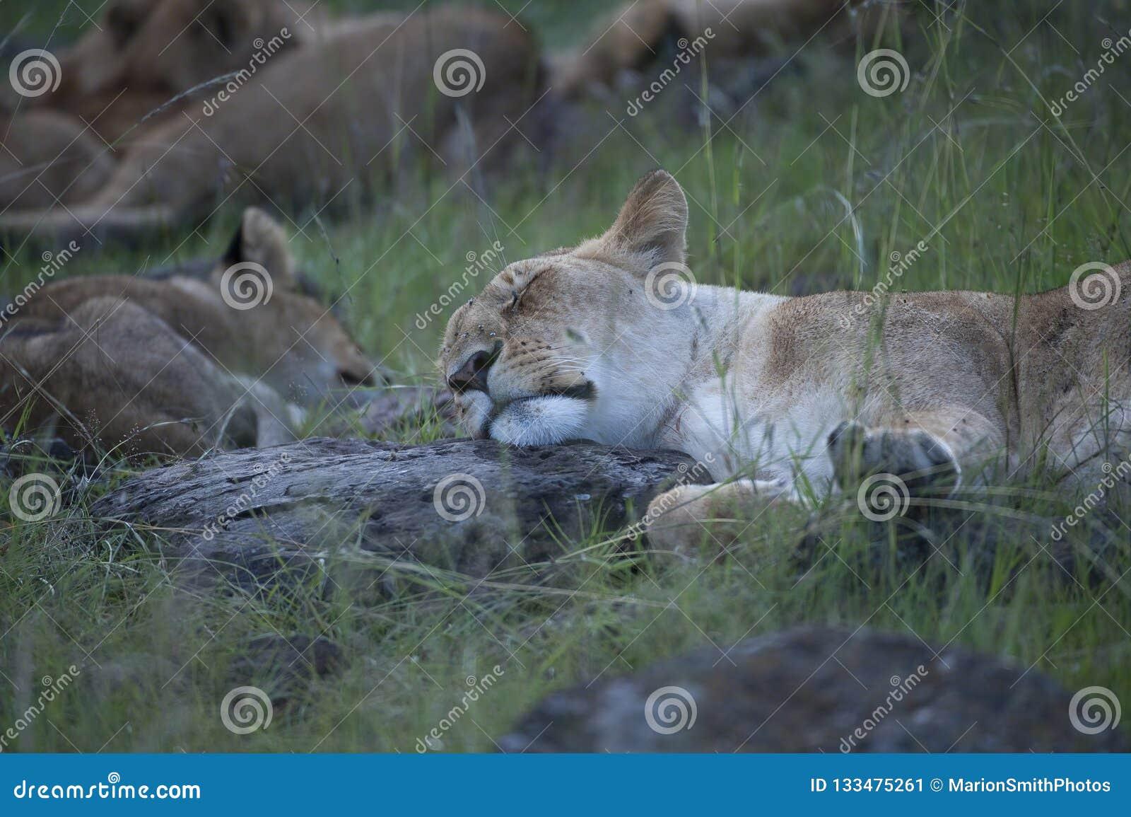 Lions prenant le petit somme d après-midi